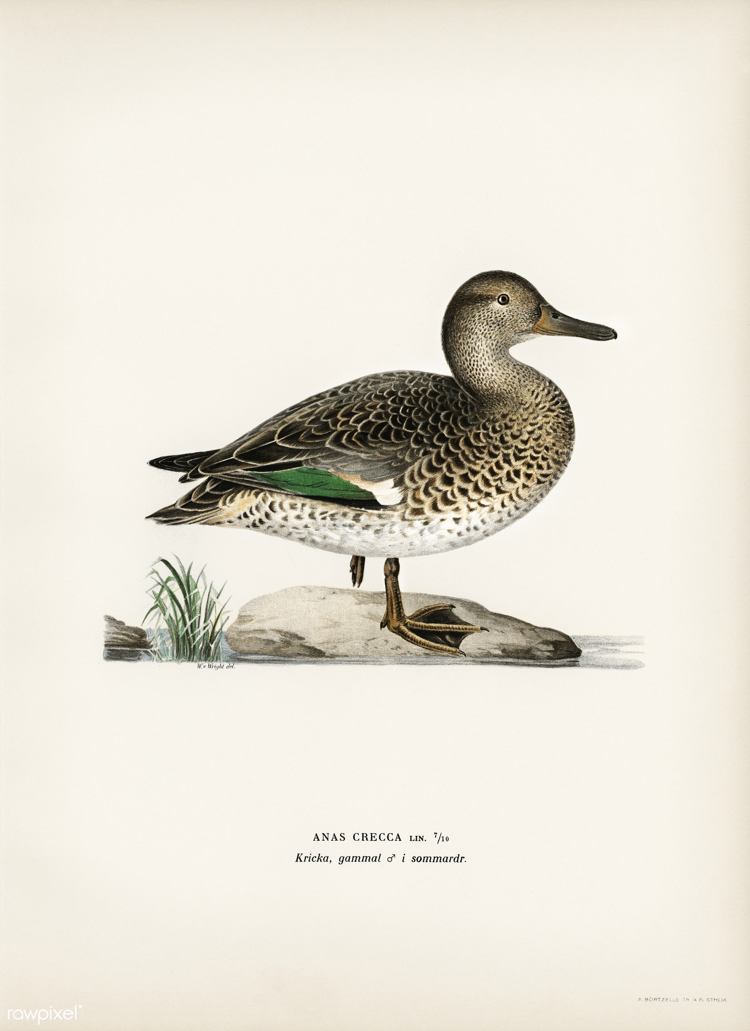 Teal (Anas crecca) illustrated by the von Wright brothers. Digitally enhanced from our own 1929 folio version of Svenska F...