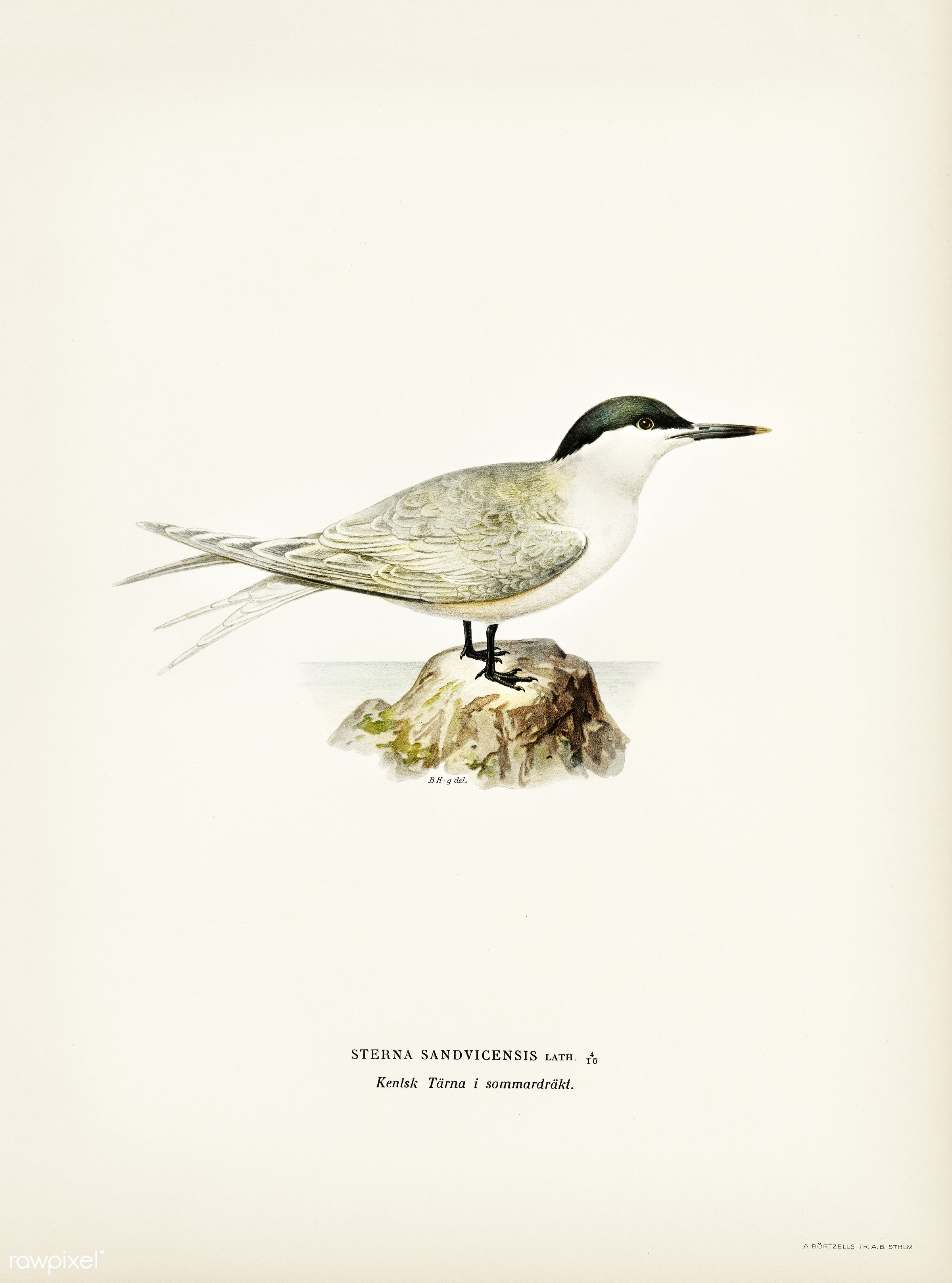 Sandwich tern (Sterna sandvicensis) illustrated by the von Wright brothers. Digitally enhanced from our own 1929 folio...