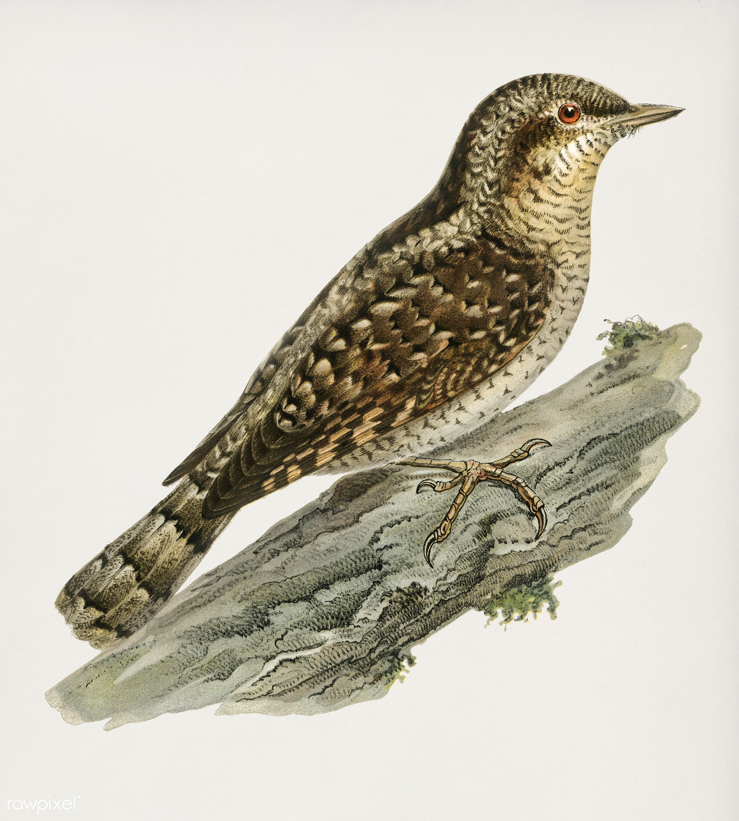 Eurasian wryneck (Jynx torquilla) illustrated by the von Wright brothers. Digitally enhanced from our own 1929 folio version...