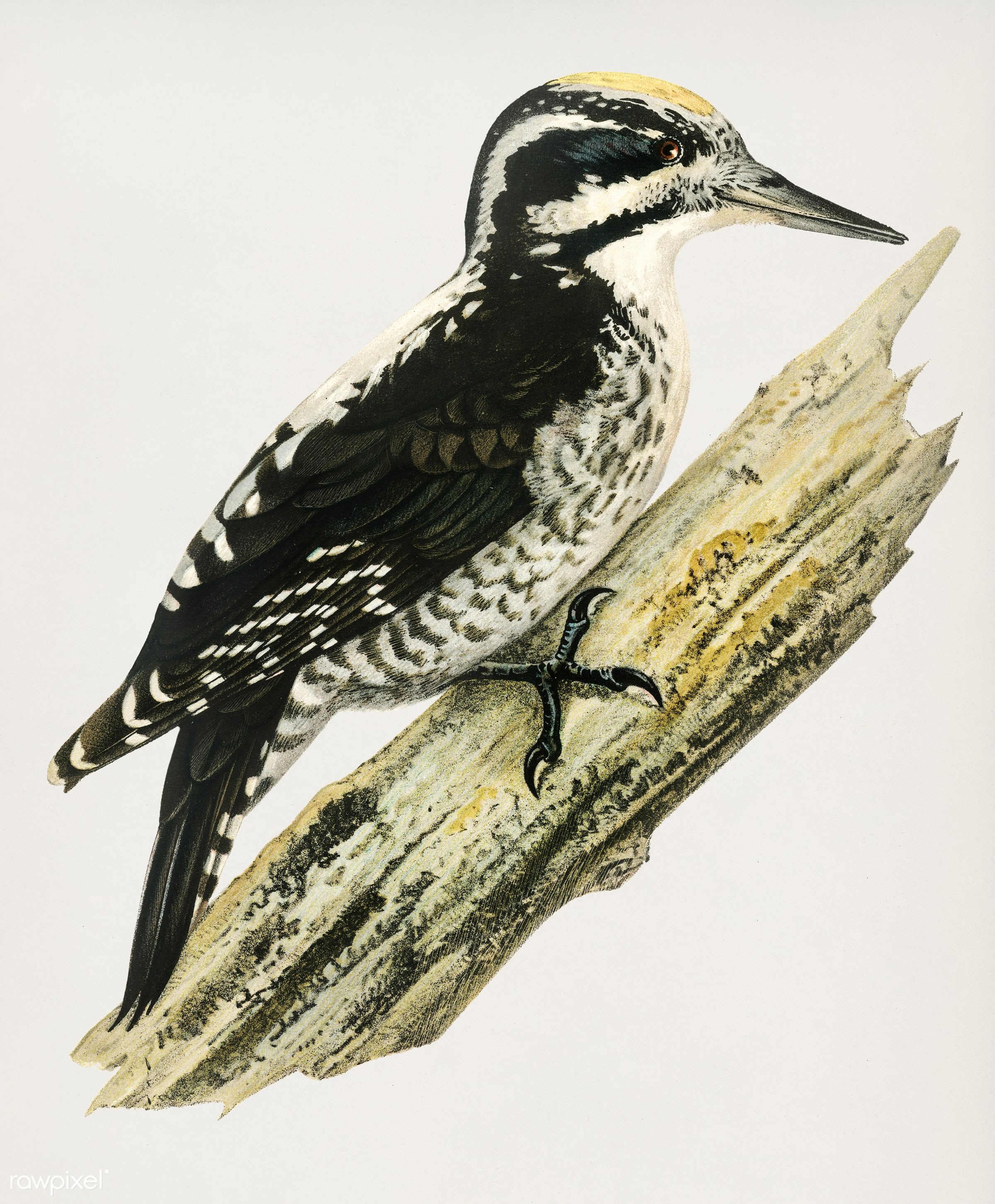 Three-toed woodpecker (Picoides Tridactylu) illustrated by the von Wright brothers. Digitally enhanced from our own 1929...