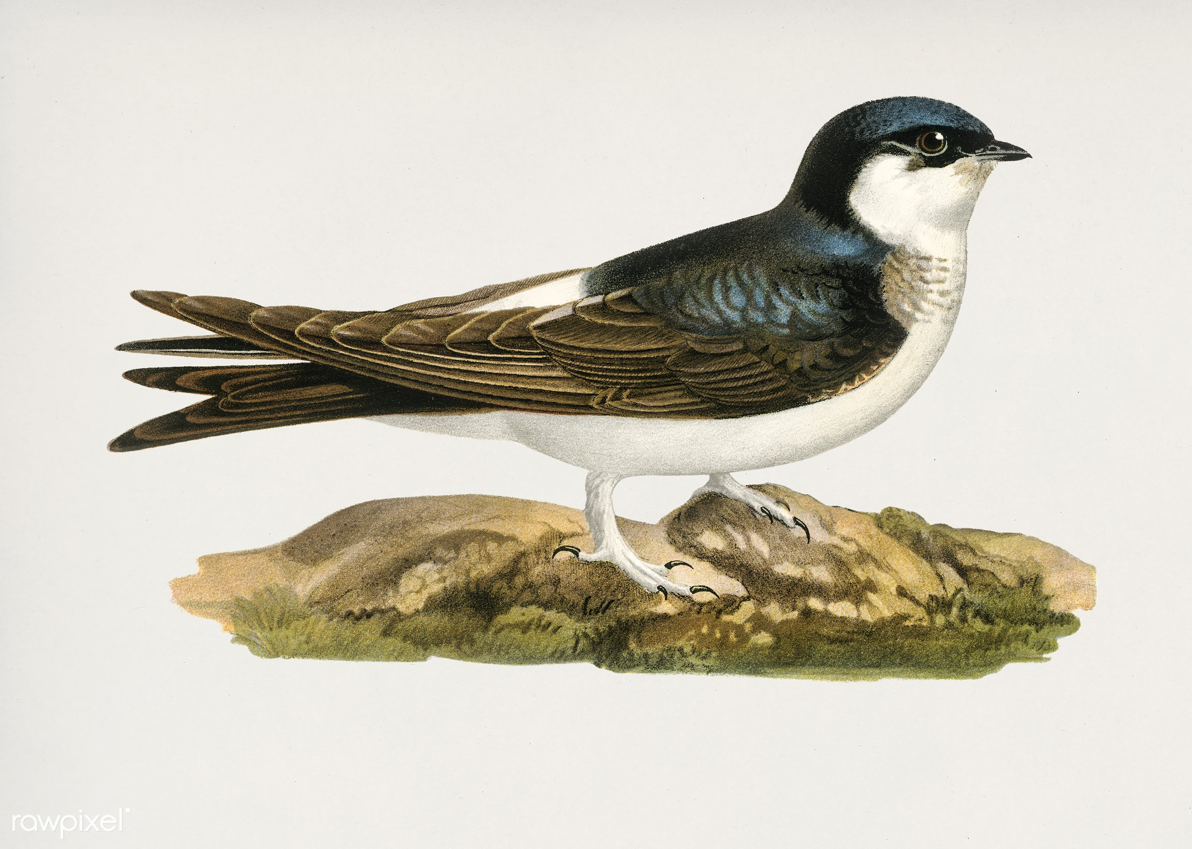 Common house-martin (Hirundo urbica) illustrated by the von Wright brothers. Digitally enhanced from our own 1929 folio...