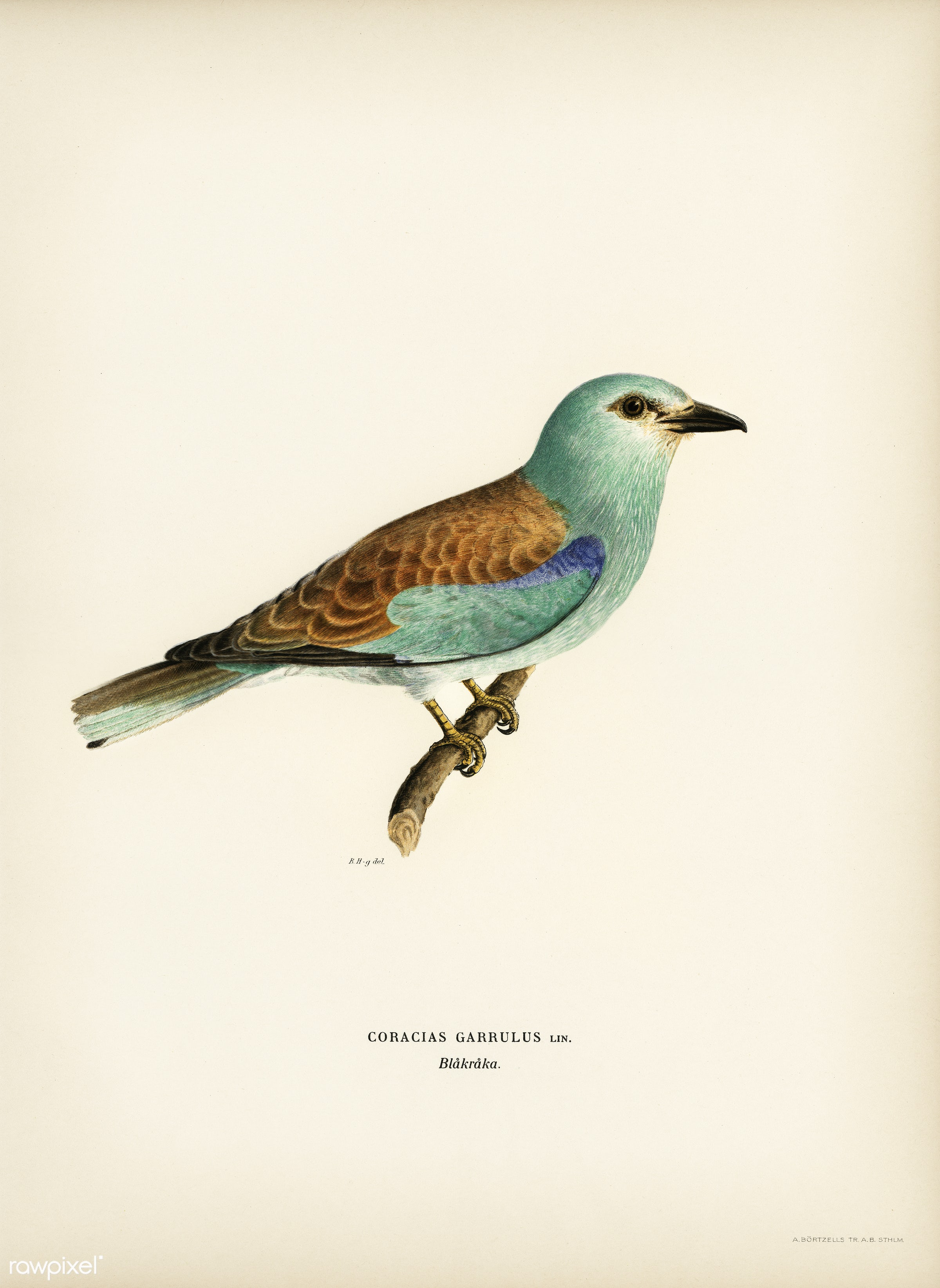 European roller (CORACIAS GARRULUS) illustrated by the von Wright brothers. Digitally enhanced from our own 1929 folio...