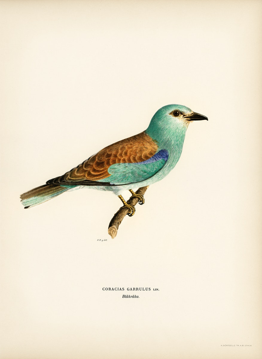European roller (CORACIAS GARRULUS) illustrated by the von Wright brothers. Digitally enhanced from our own 1929 folio…