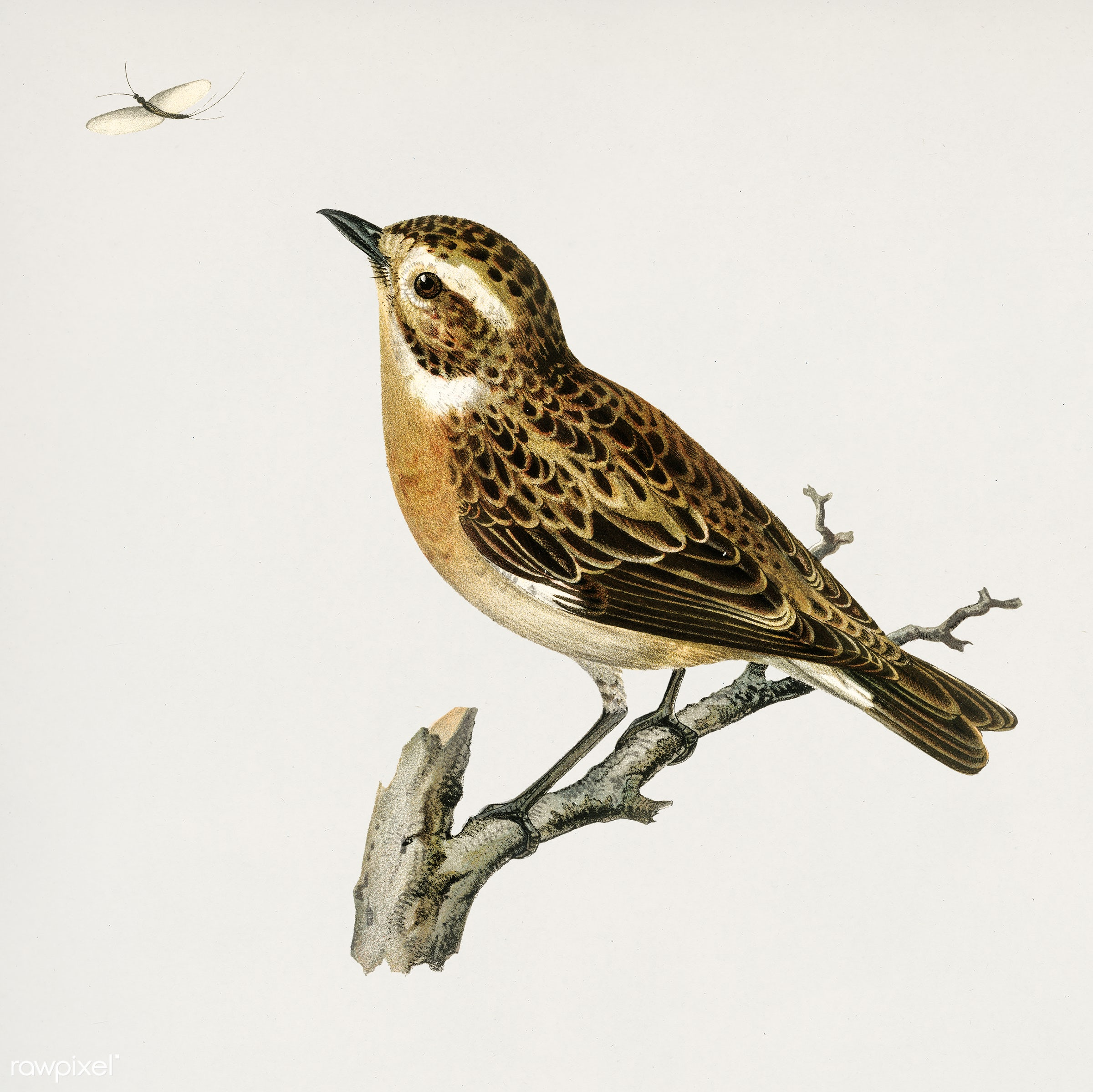 Whinchat (Pratincola rubetra) illustrated by the von Wright brothers. Digitally enhanced from our own 1929 folio version of...