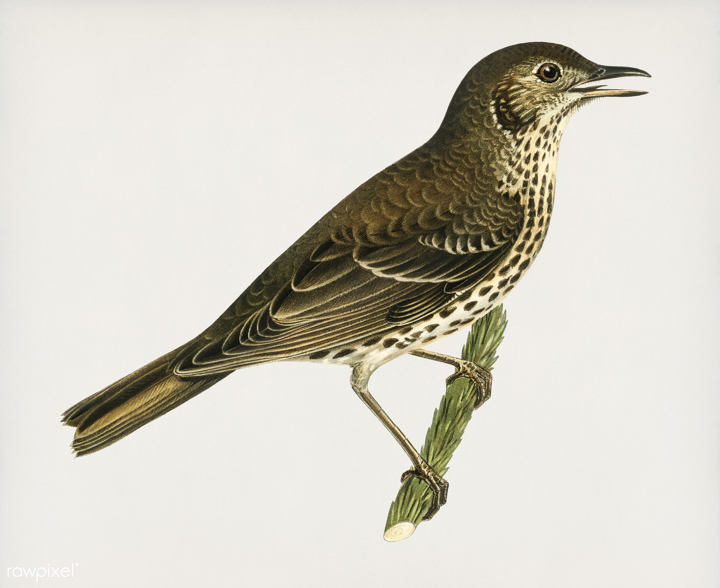 Redwing-Song thrush (Turdus usicus) illustrated by the von Wright brothers. Digitally enhanced from our own 1929 folio...