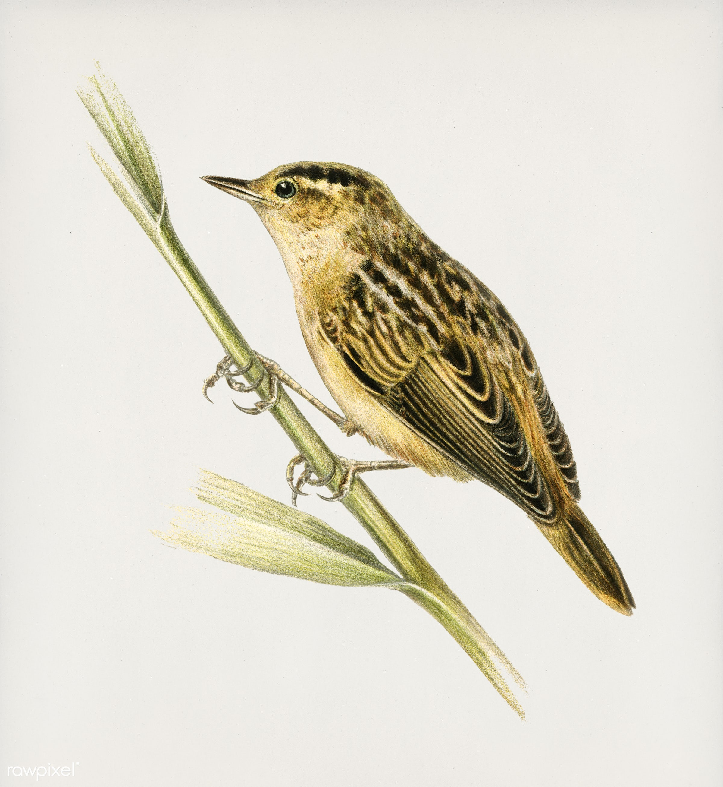 Aquatic warbler (Acrocephalus aquaticus) illustrated by the von Wright brothers. Digitally enhanced from our own 1929 folio...
