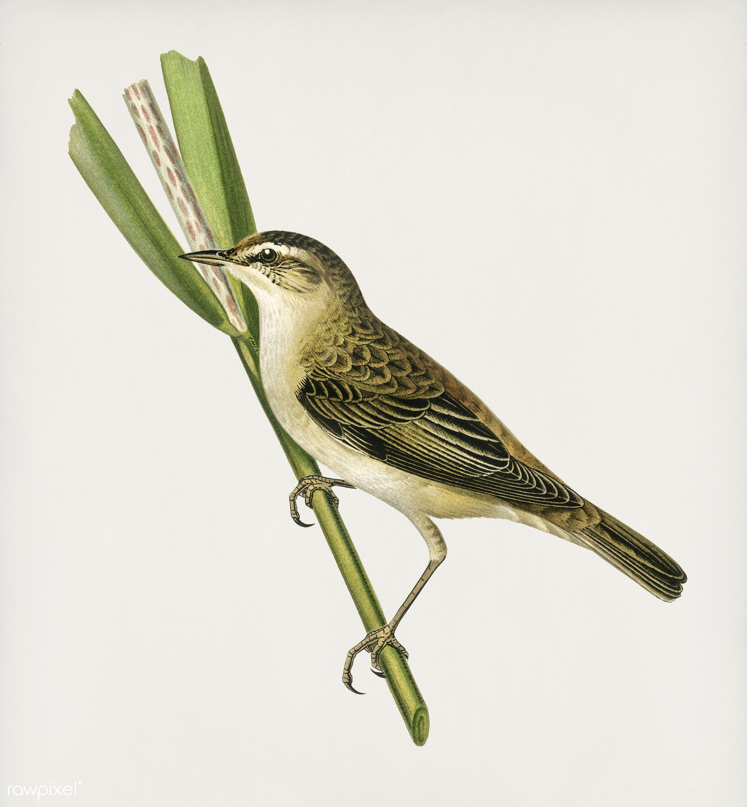 Sedge warbler (Acrocephalus schoenobaenus) illustrated by the von Wright brothers. Digitally enhanced from our own 1929...