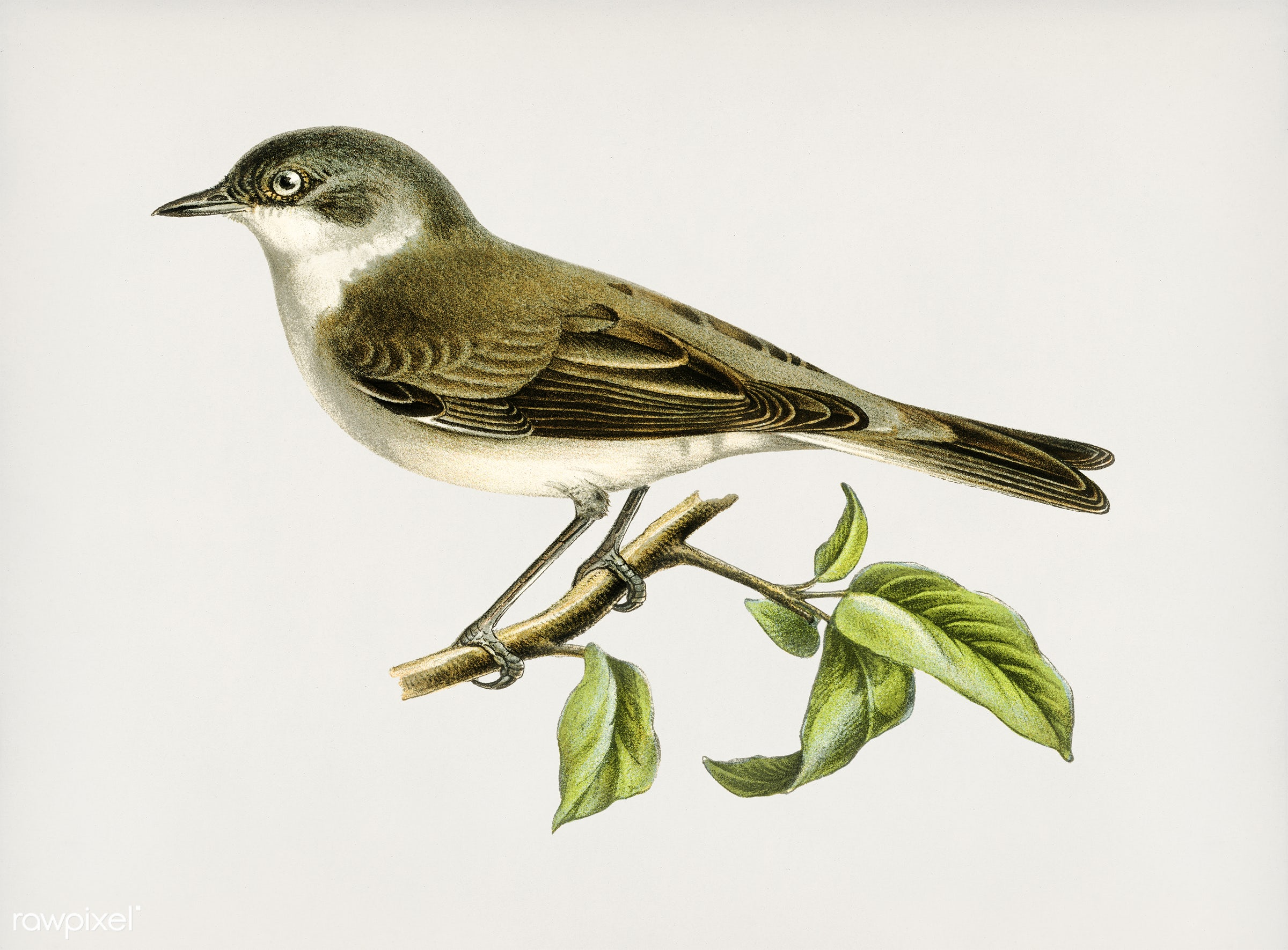 Lesser whitethroat (Sylvia curruca) illustrated by the von Wright brothers. Digitally enhanced from our own 1929 folio...