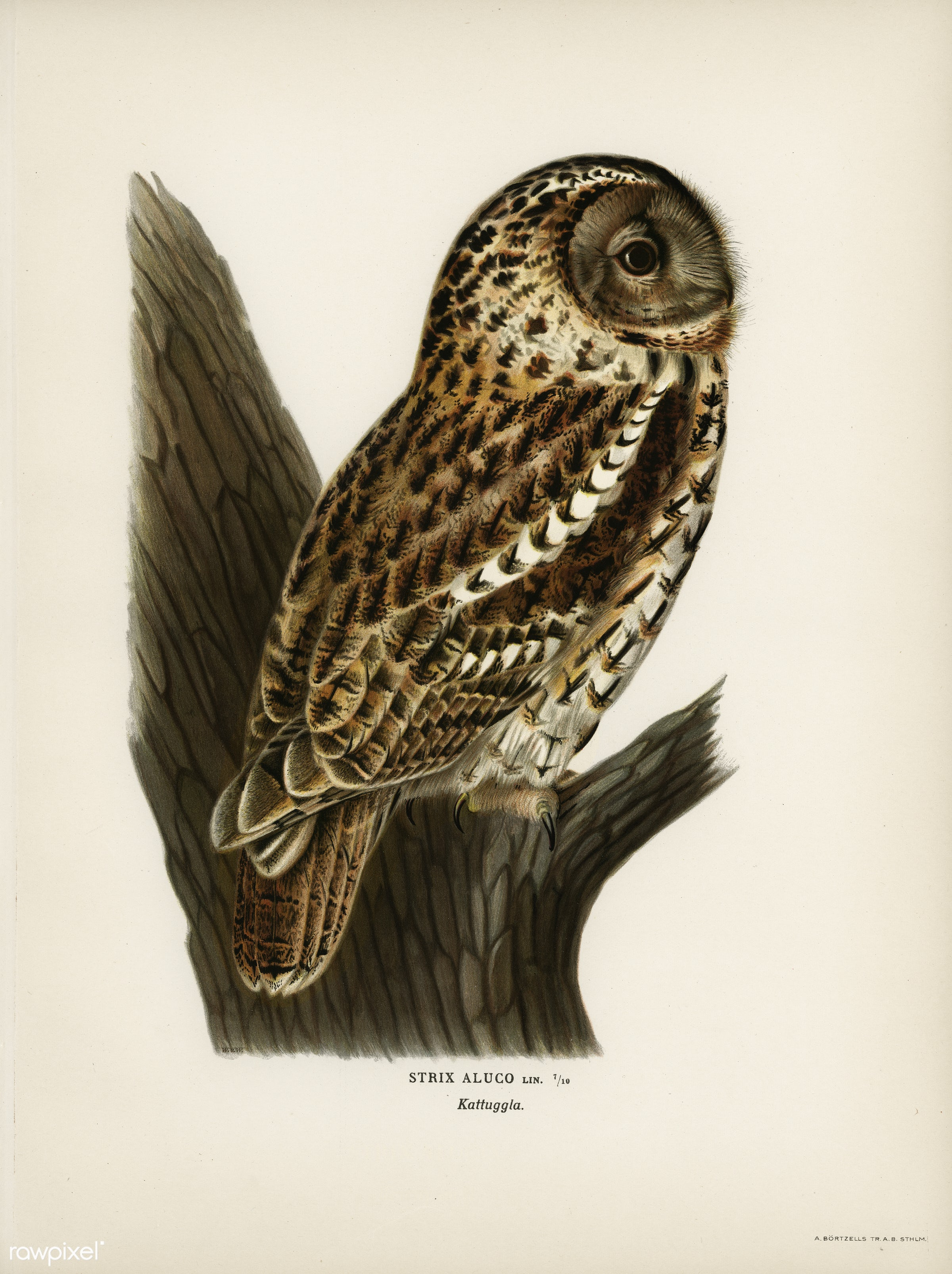 Strix aluco (Tawny owl) illustrated by the von Wright brothers. Digitally enhanced from our own 1929 folio version of...