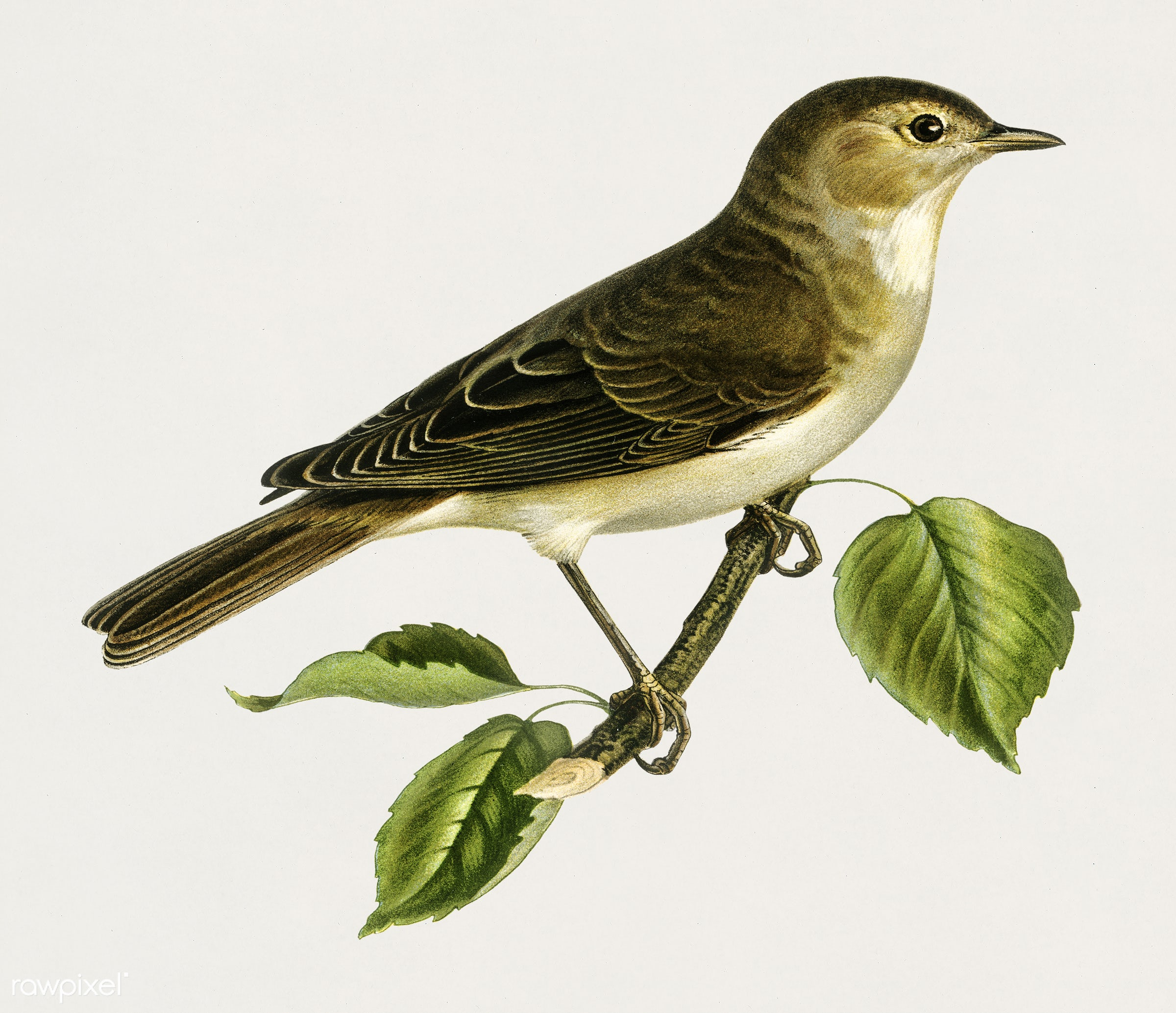 Garden warbler (Sylvia borin) illustrated by the von Wright brothers. Digitally enhanced from our own 1929 folio version of...