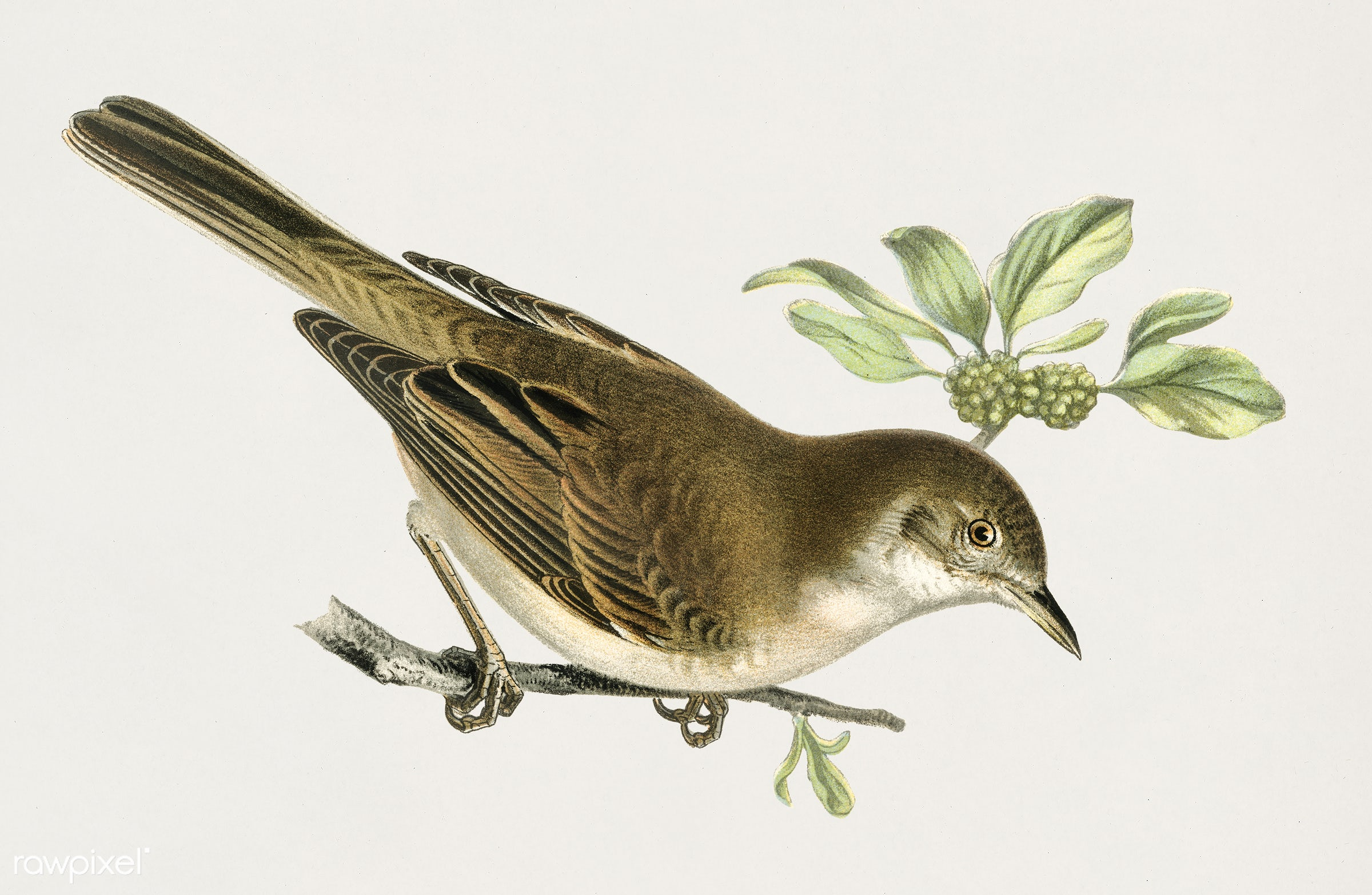 Common whitethroat (Sylvia communis) illustrated by the von Wright brothers. Digitally enhanced from our own 1929 folio...