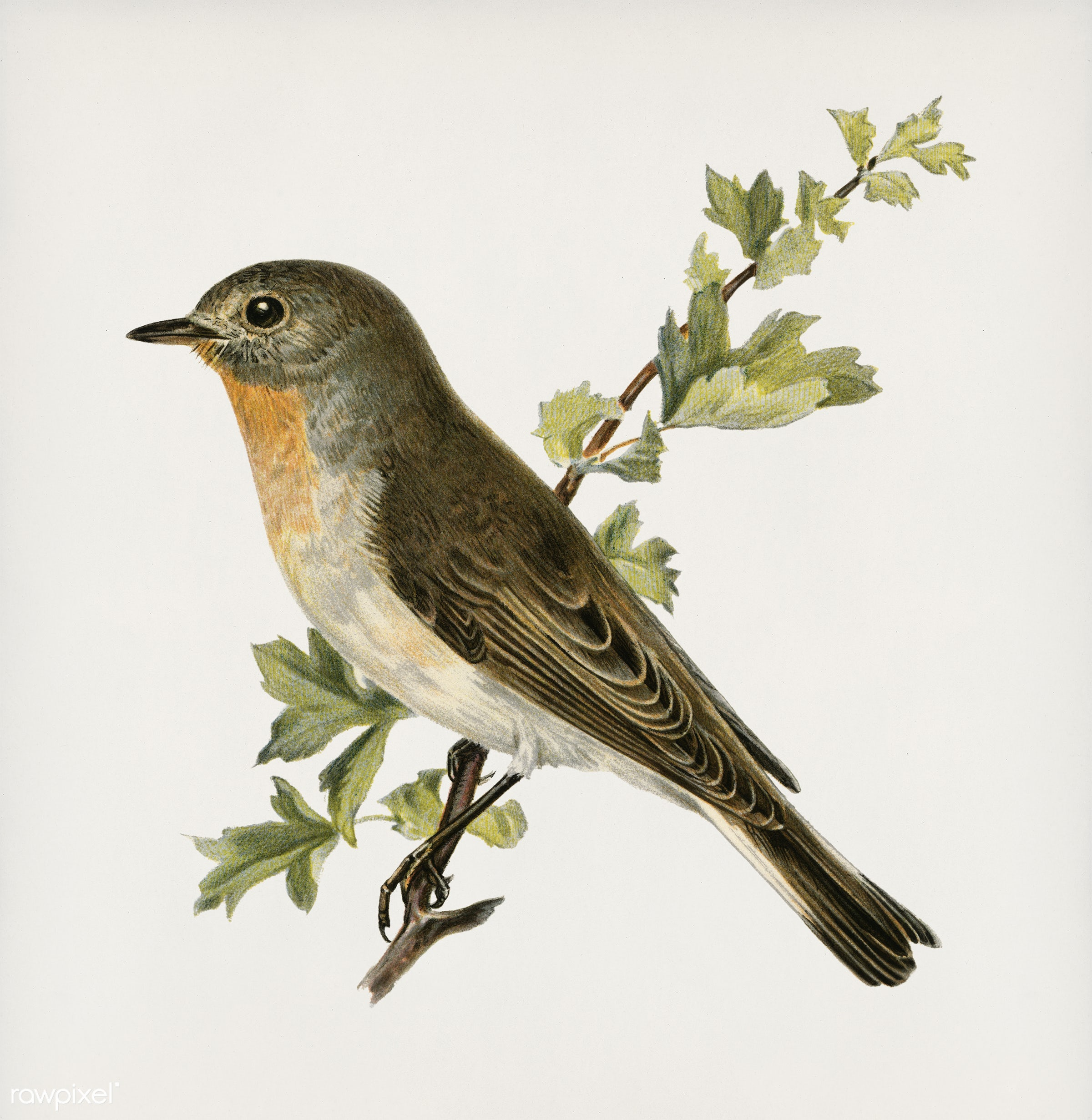 Red-breasted flycatcher ♂ (Ficedula parva) illustrated by the von Wright brothers. Digitally enhanced from our own 1929...