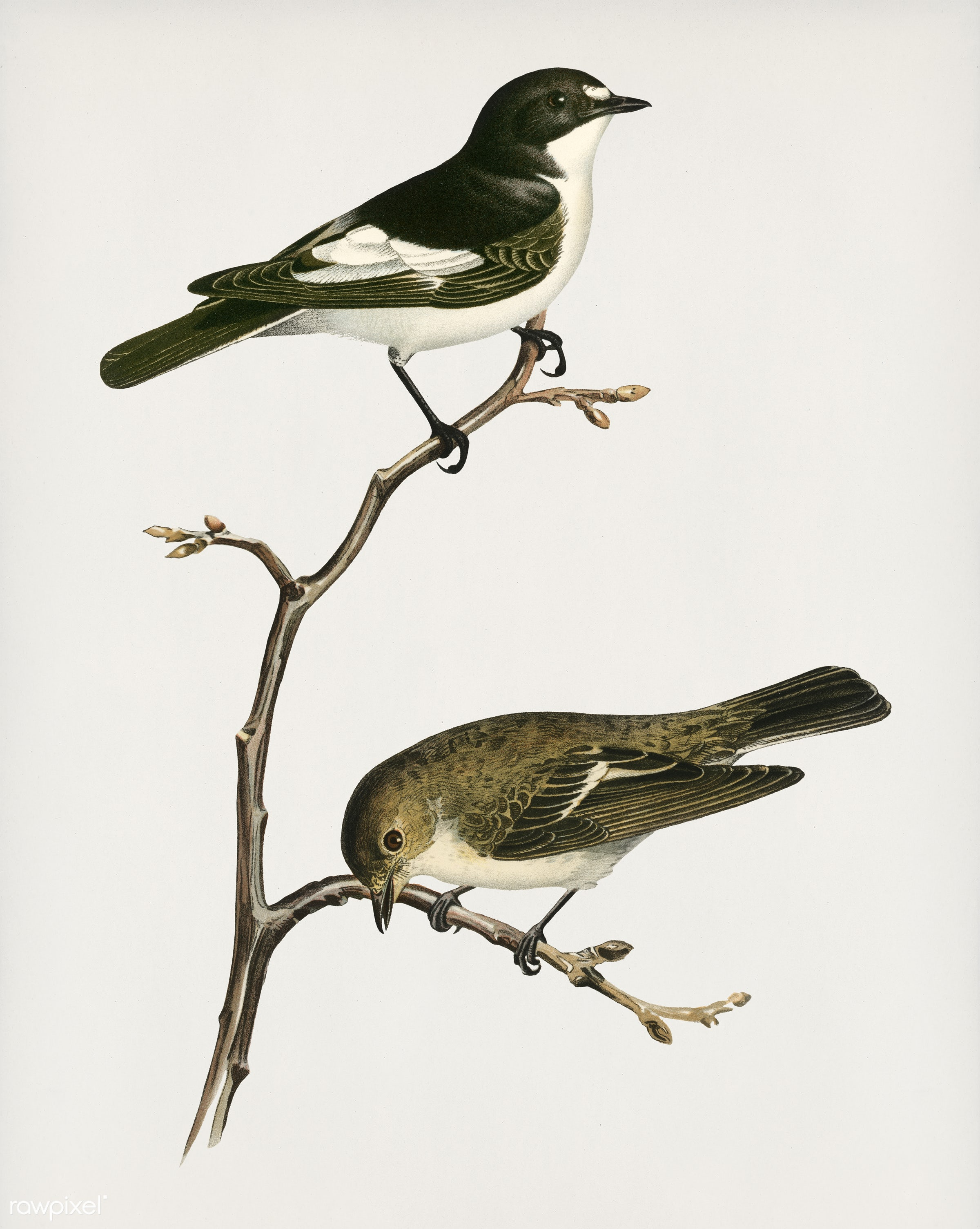 Pied Flycatcher (Muscicapa atricapilla) illustrated by the von Wright brothers. Digitally enhanced from our own 1929 folio...