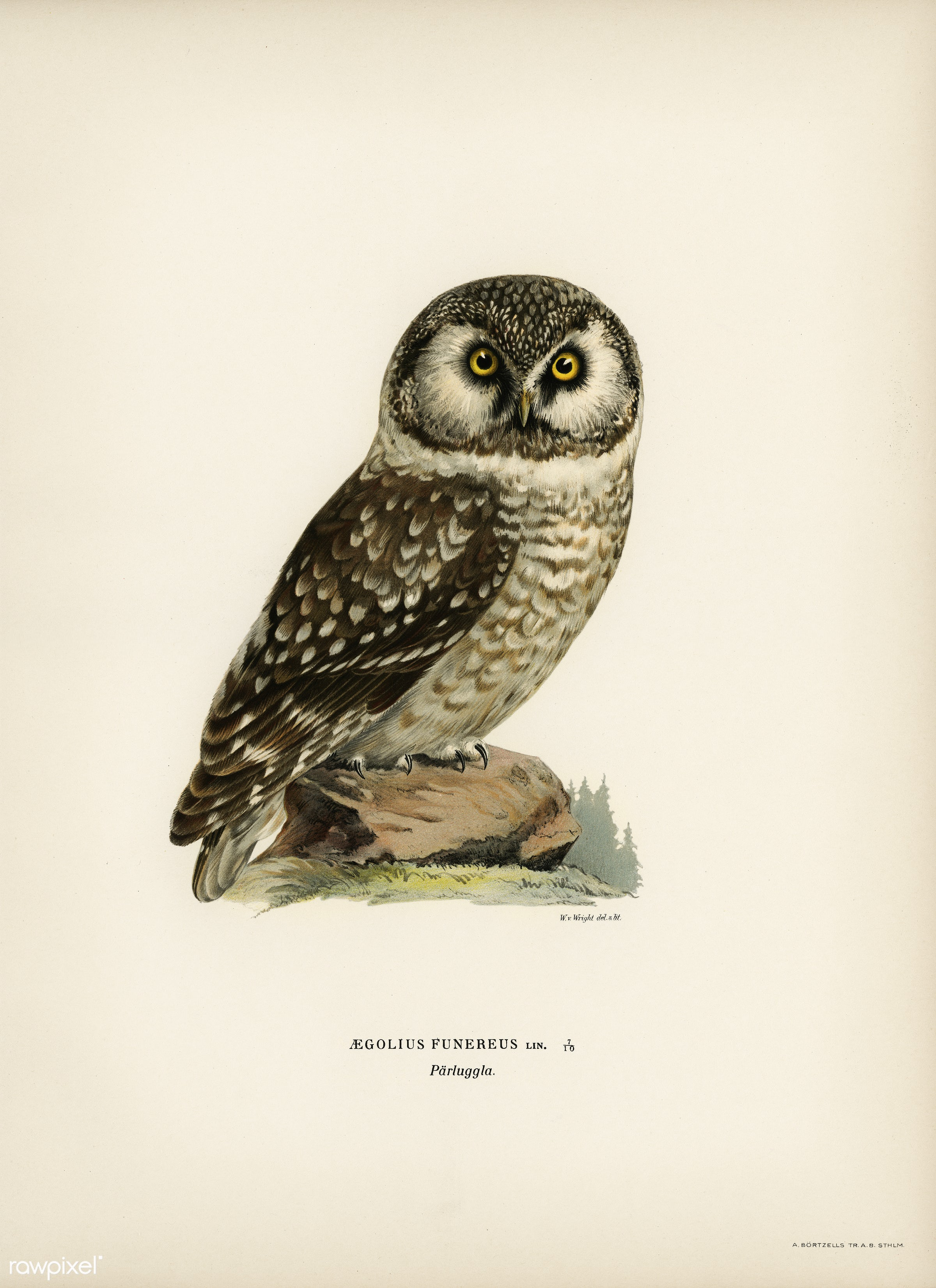 Boreal Owl, Tengmalm's Owl (Aegolius funereus) illustrated by the von Wright brothers. Digitally enhanced from our own...