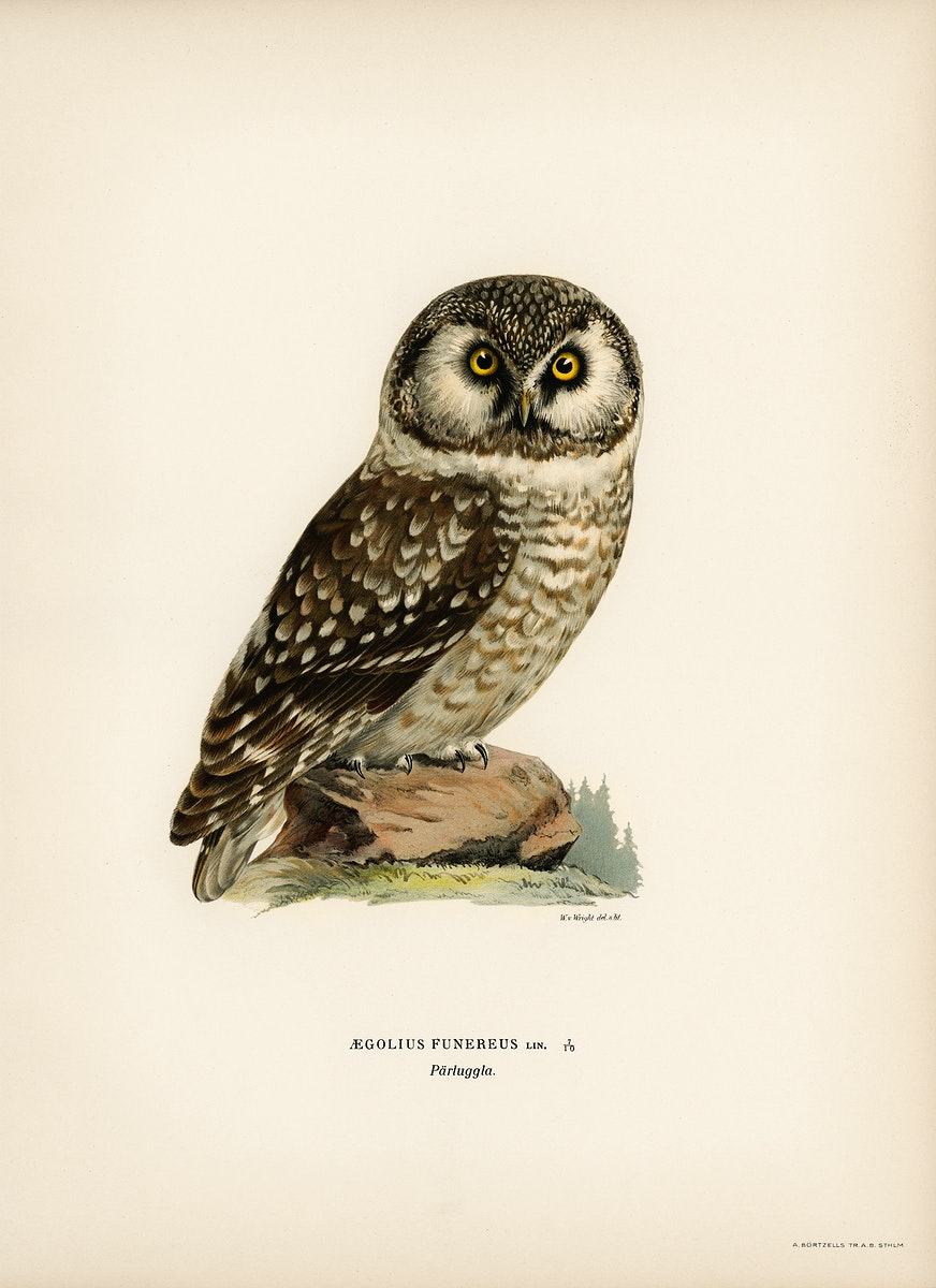 Boreal Owl, Tengmalm's Owl (Aegolius funereus) illustrated by the von Wright brothers. Digitally enhanced from our own 1929…