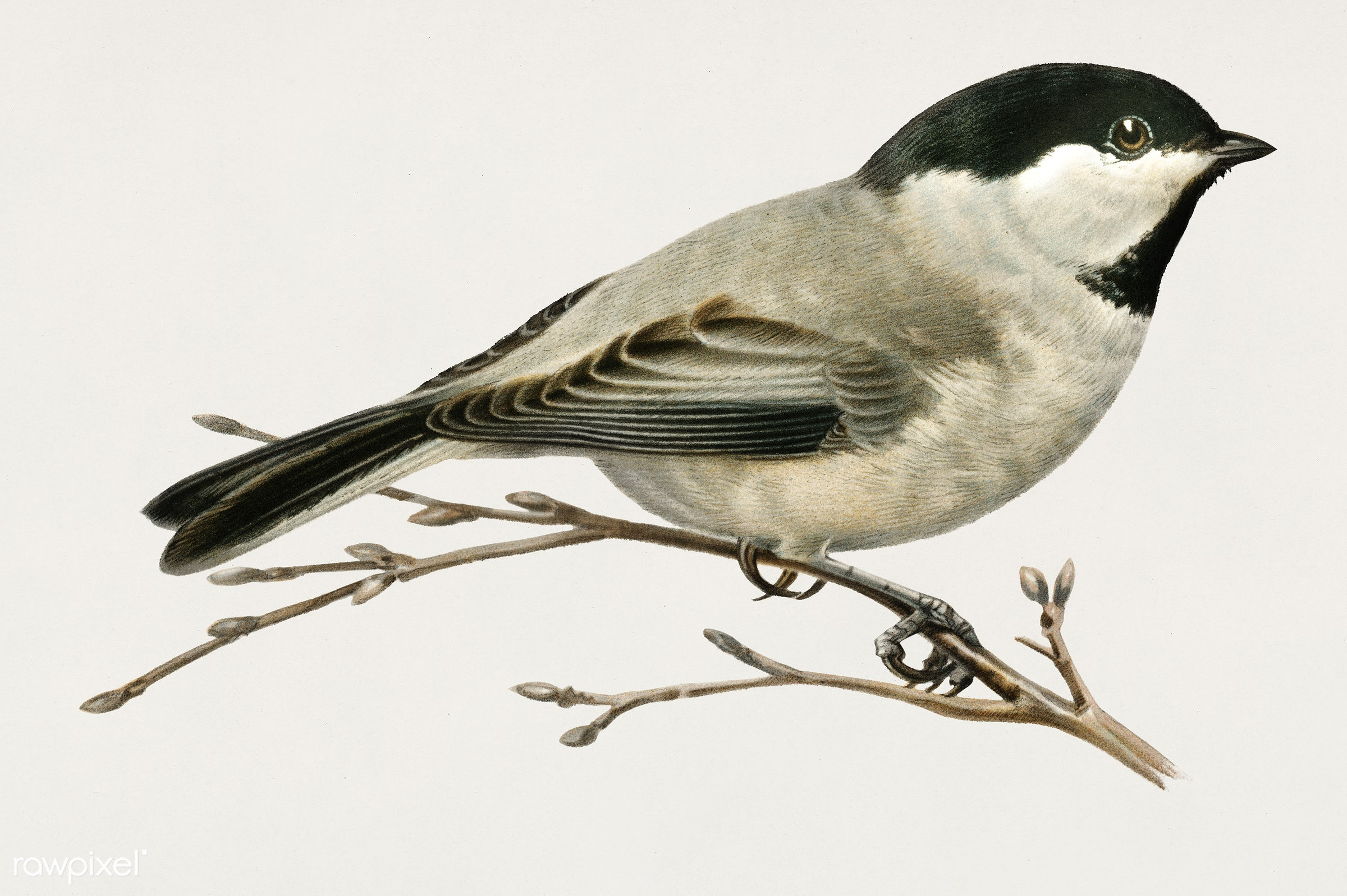 Black-capped chickadee (Parus atricapillus) illustrated by the von Wright brothers. Digitally enhanced from our own 1929...