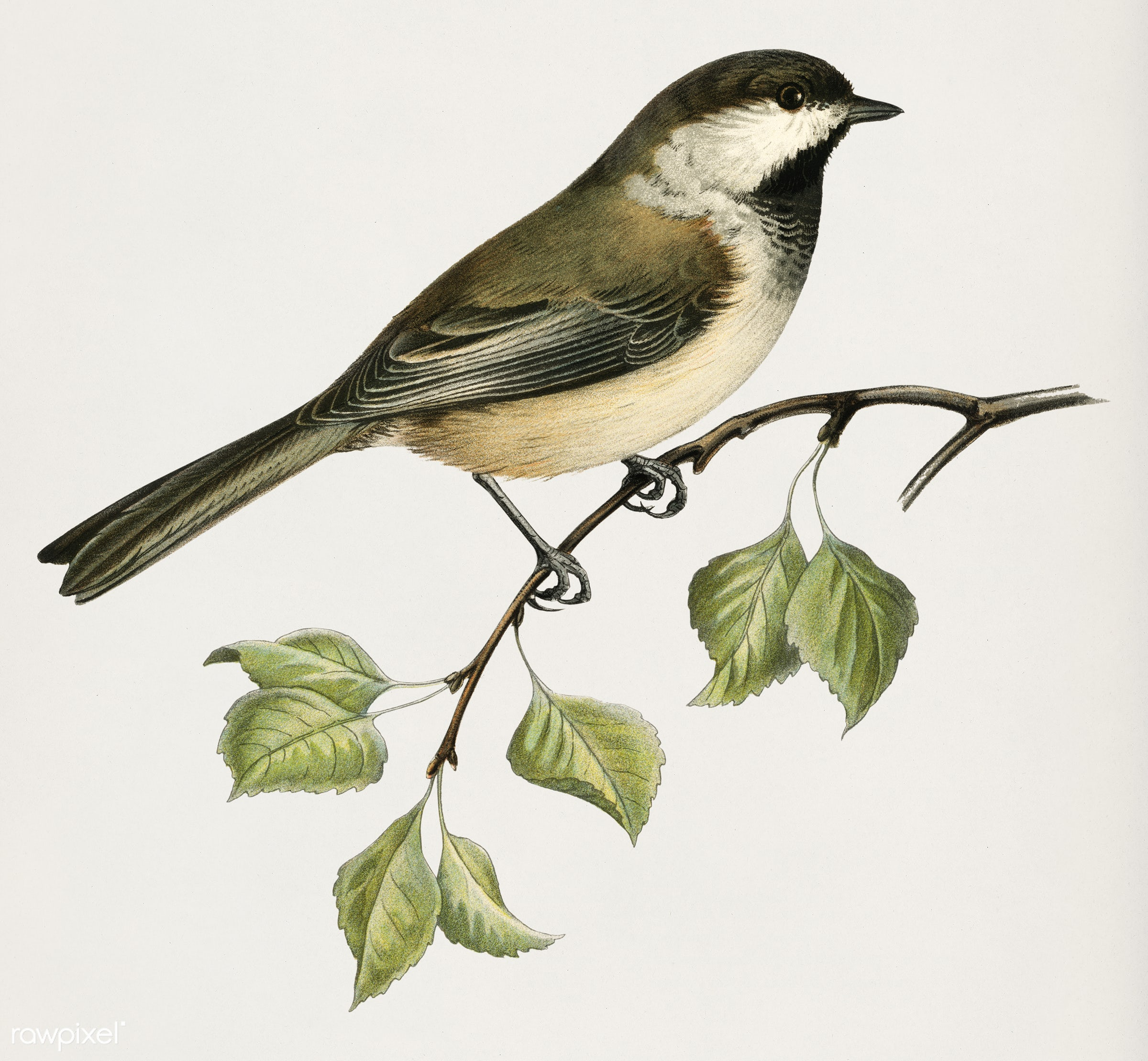 Lappmes (Parus cinctus) illustrated by the von Wright brothers. Digitally enhanced from our own 1929 folio version of...