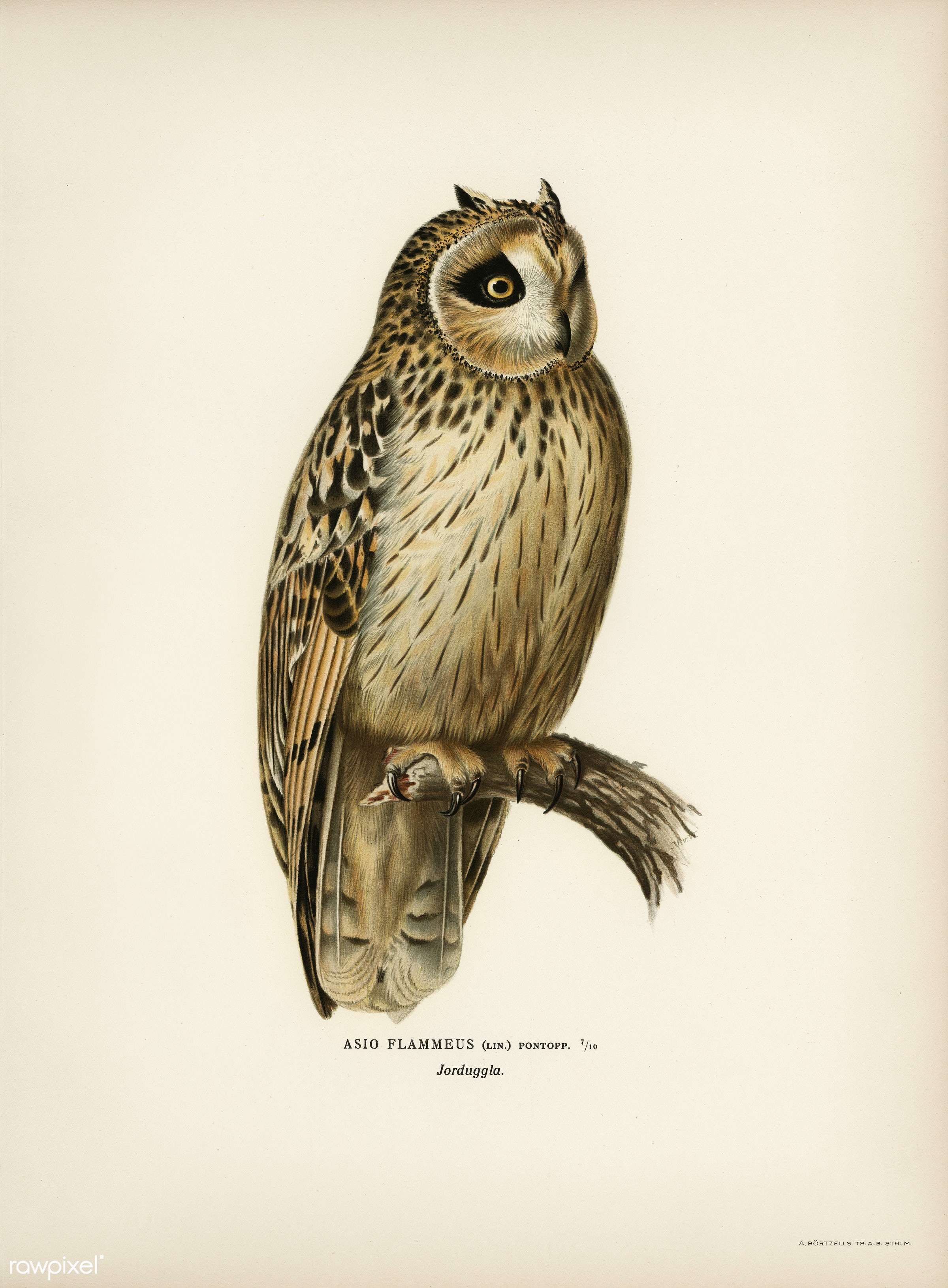 Short-eared Owl (Asio flammeus) illustrated by the von Wright brothers. Digitally enhanced from our own 1929 folio version...