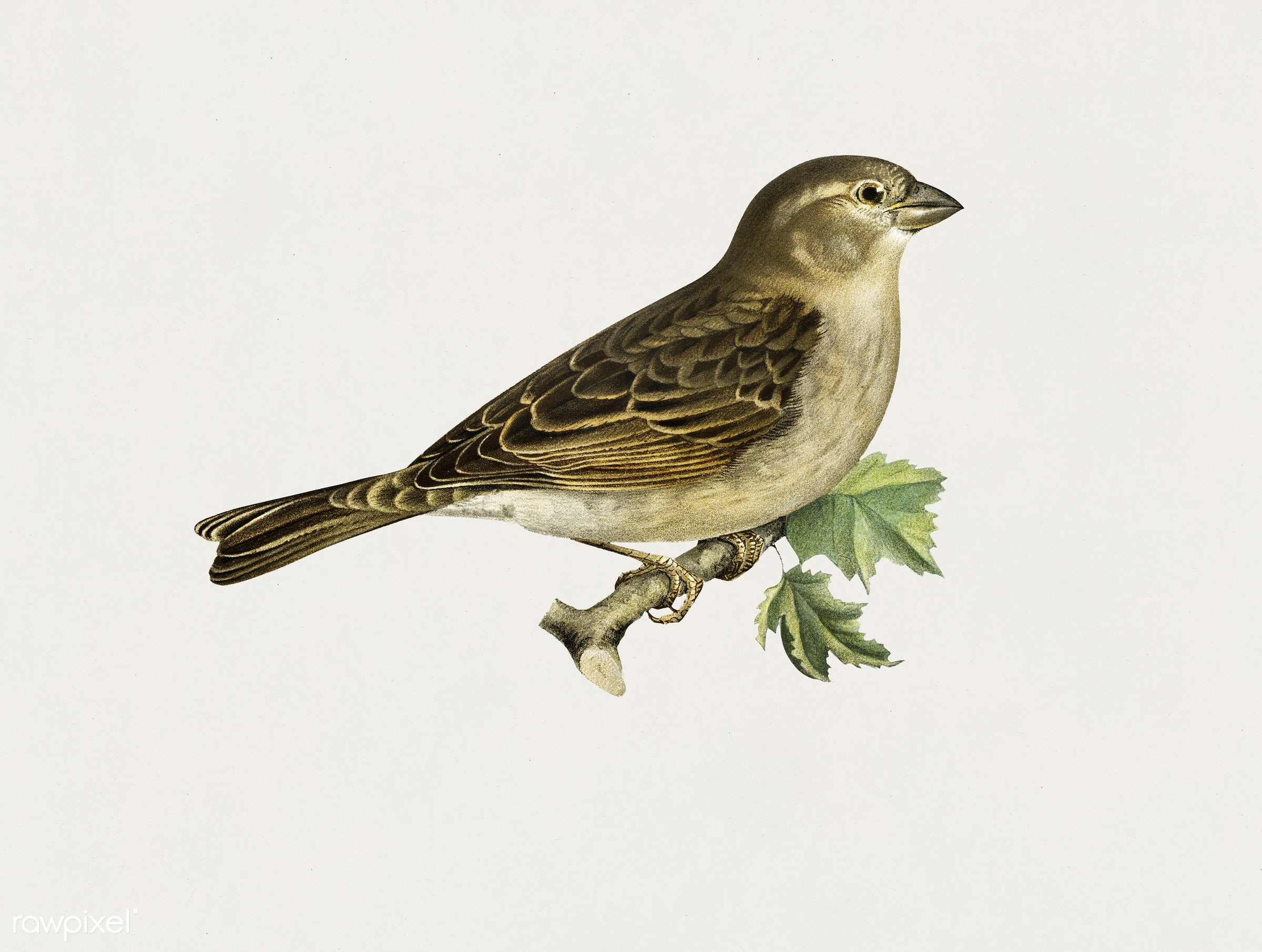 House Sparrow female (Passer domesticus) illustrated by the von Wright brothers. Digitally enhanced from our own 1929 folio...