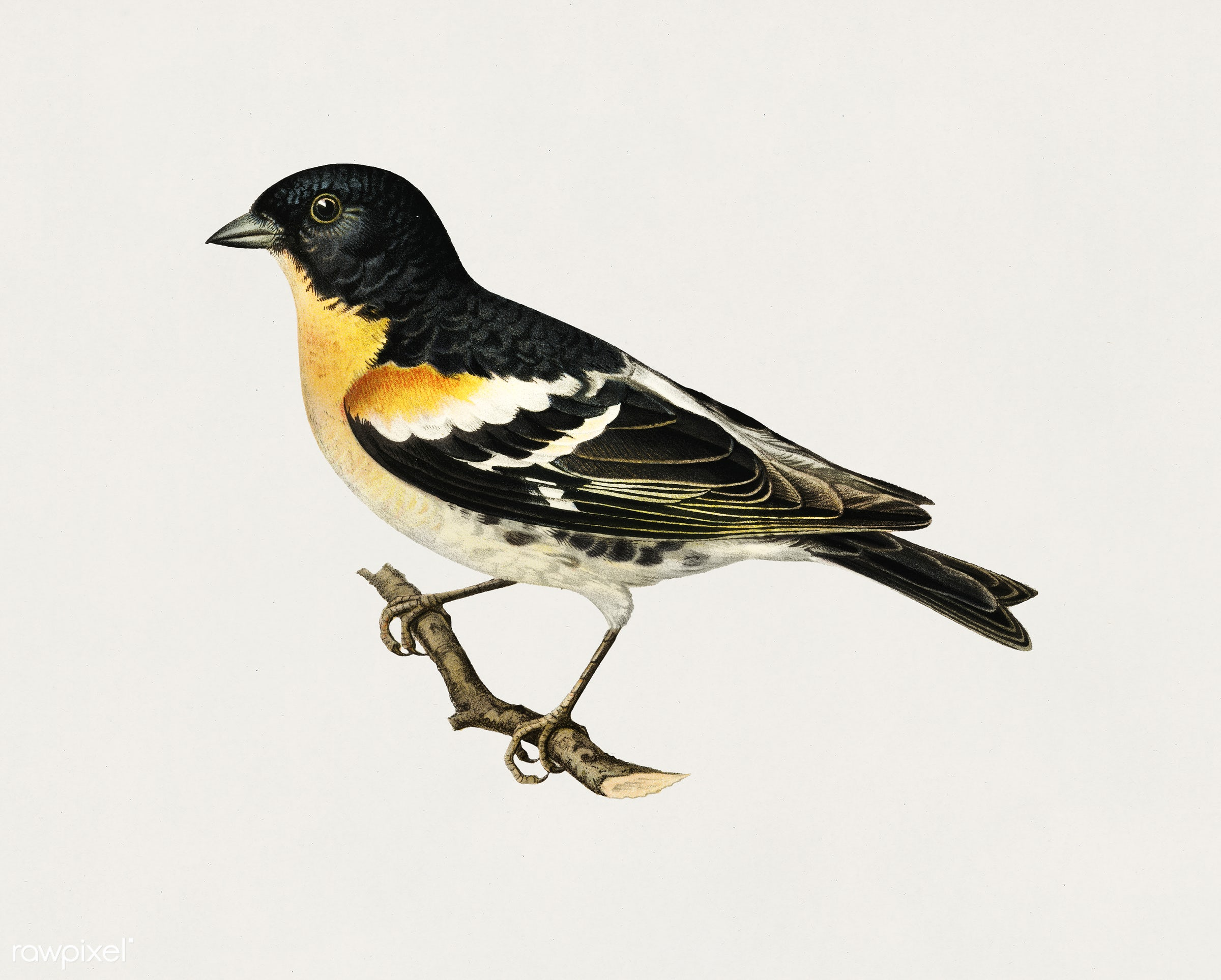 Brambling (Fringilla Montifringilla) illustrated by the von Wright brothers. Digitally enhanced from our own 1929 folio...