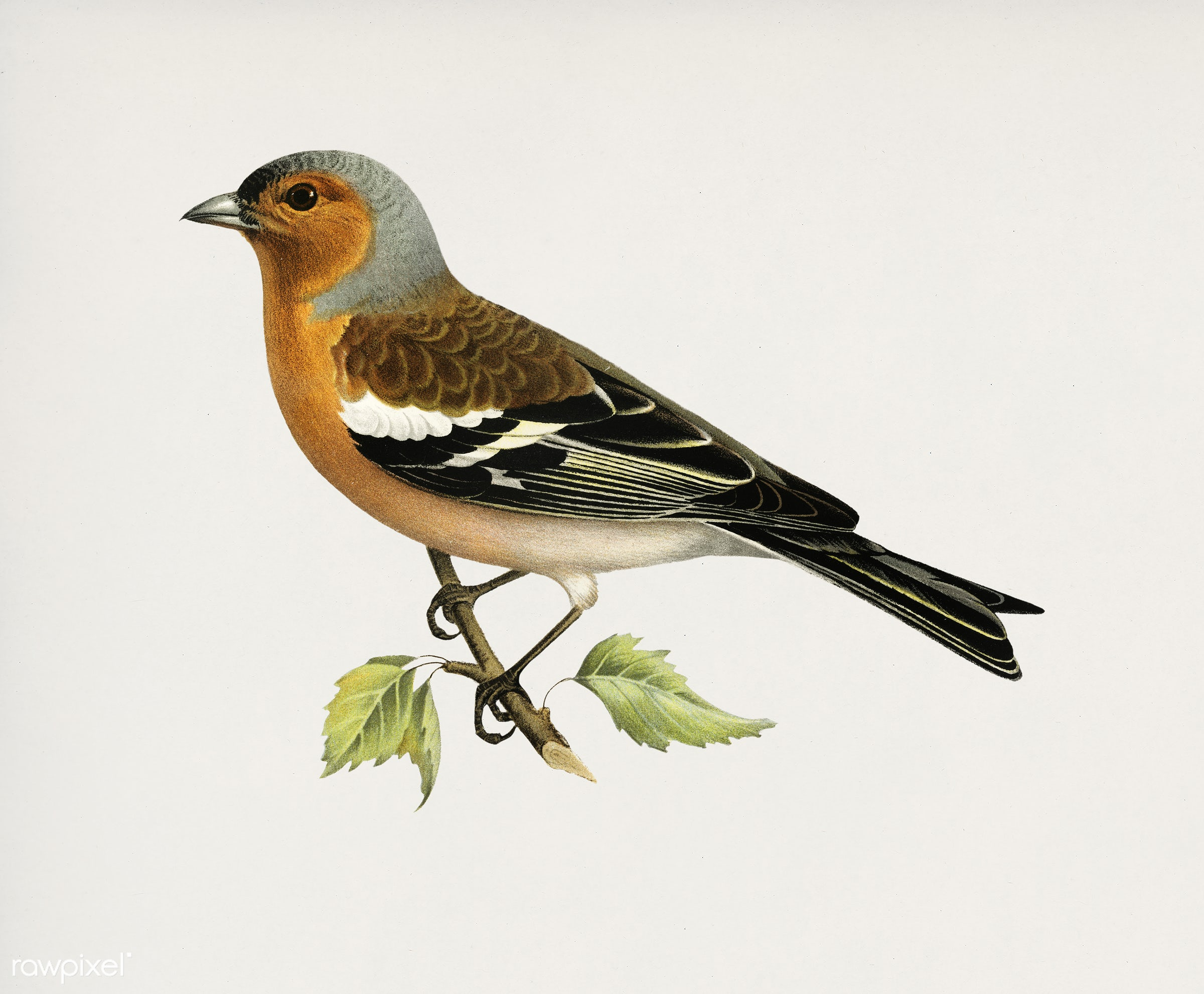 Chaffinch male (Fringilla coelebs) illustrated by the von Wright brothers. Digitally enhanced from our own 1929 folio...