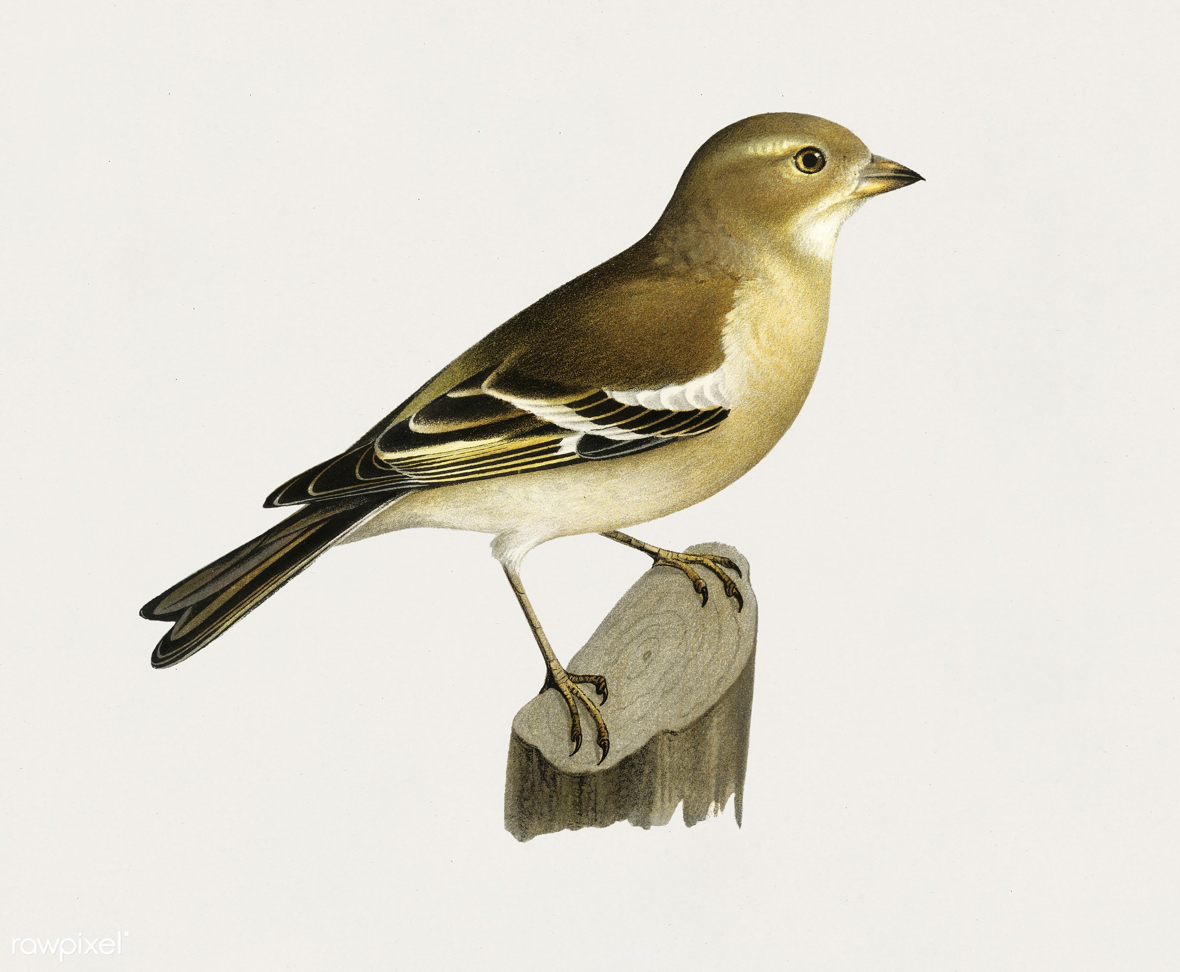 Chaffinch female (Fringilla coelebs) illustrated by the von Wright brothers. Digitally enhanced from our own 1929 folio...