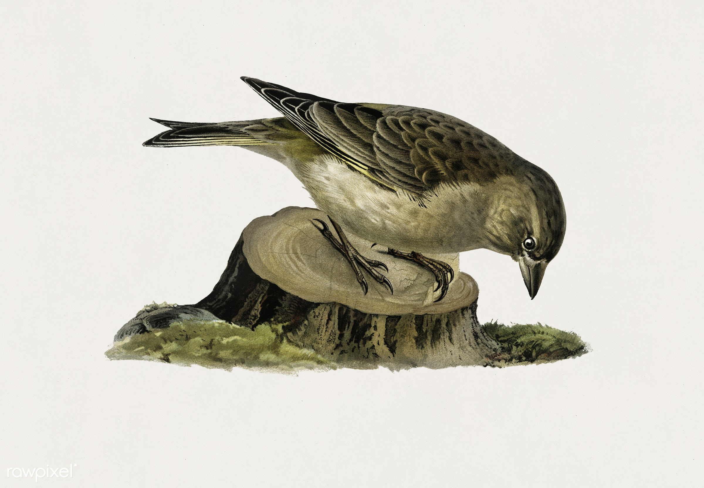 Greenfinch female (Chloris chloris) illustrated by the von Wright brothers. Digitally enhanced from our own 1929 folio...