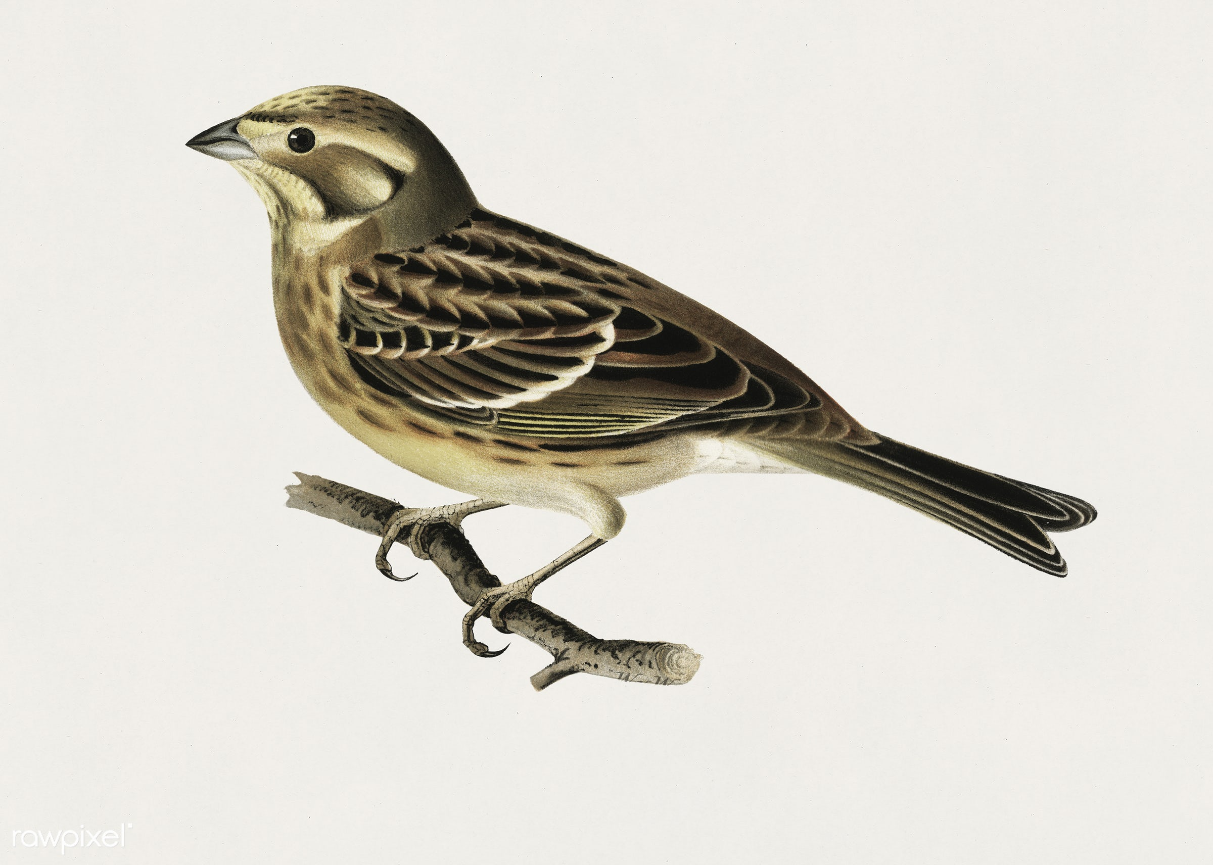 Yellowhammer (Emberiza citrinella) illustrated by the von Wright brothers. Digitally enhanced from our own 1929 folio...