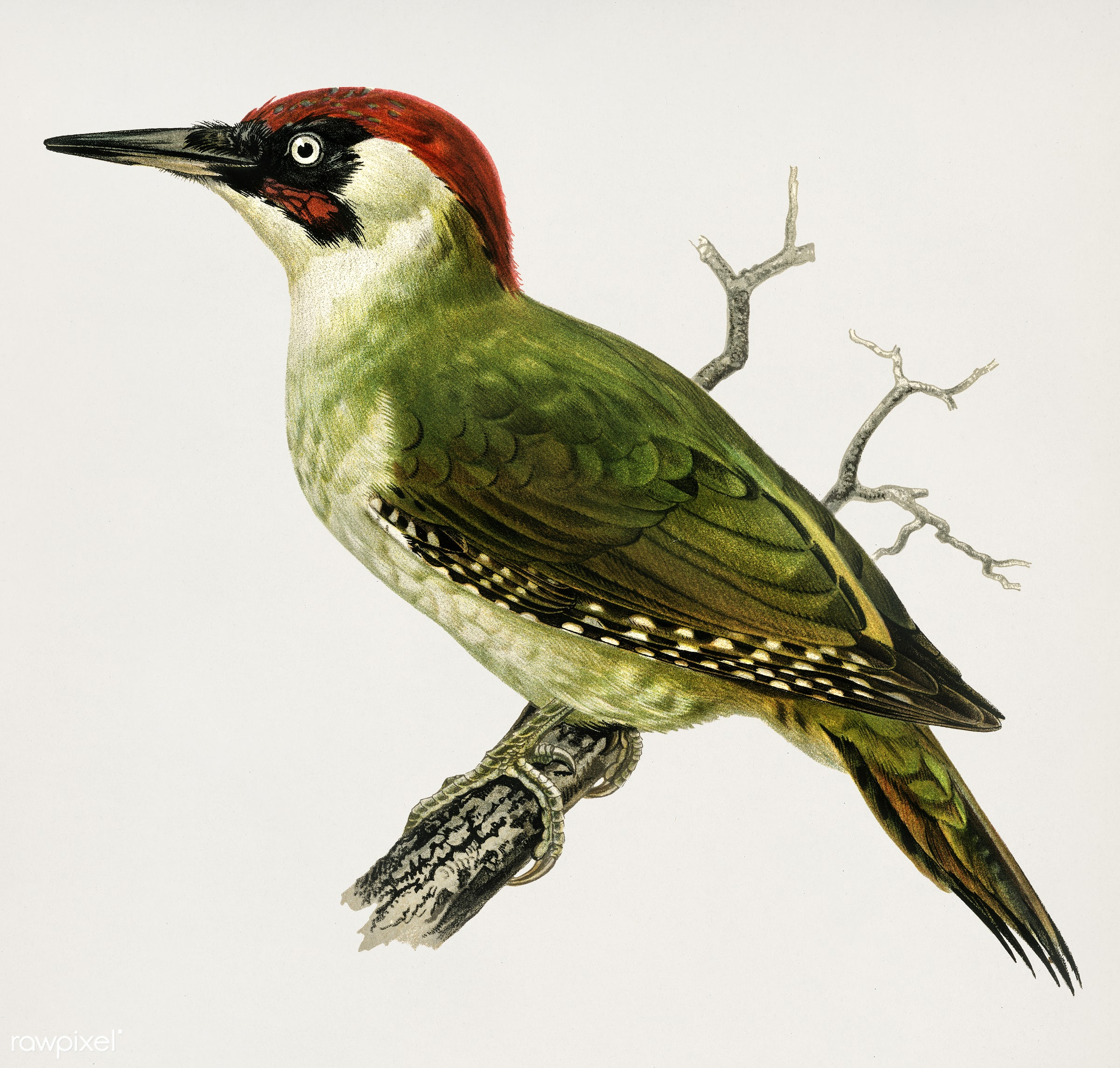 Picus viridis ♂ illustrated by the von Wright brothers. Digitally enhanced from our own 1929 folio version of Svenska F...