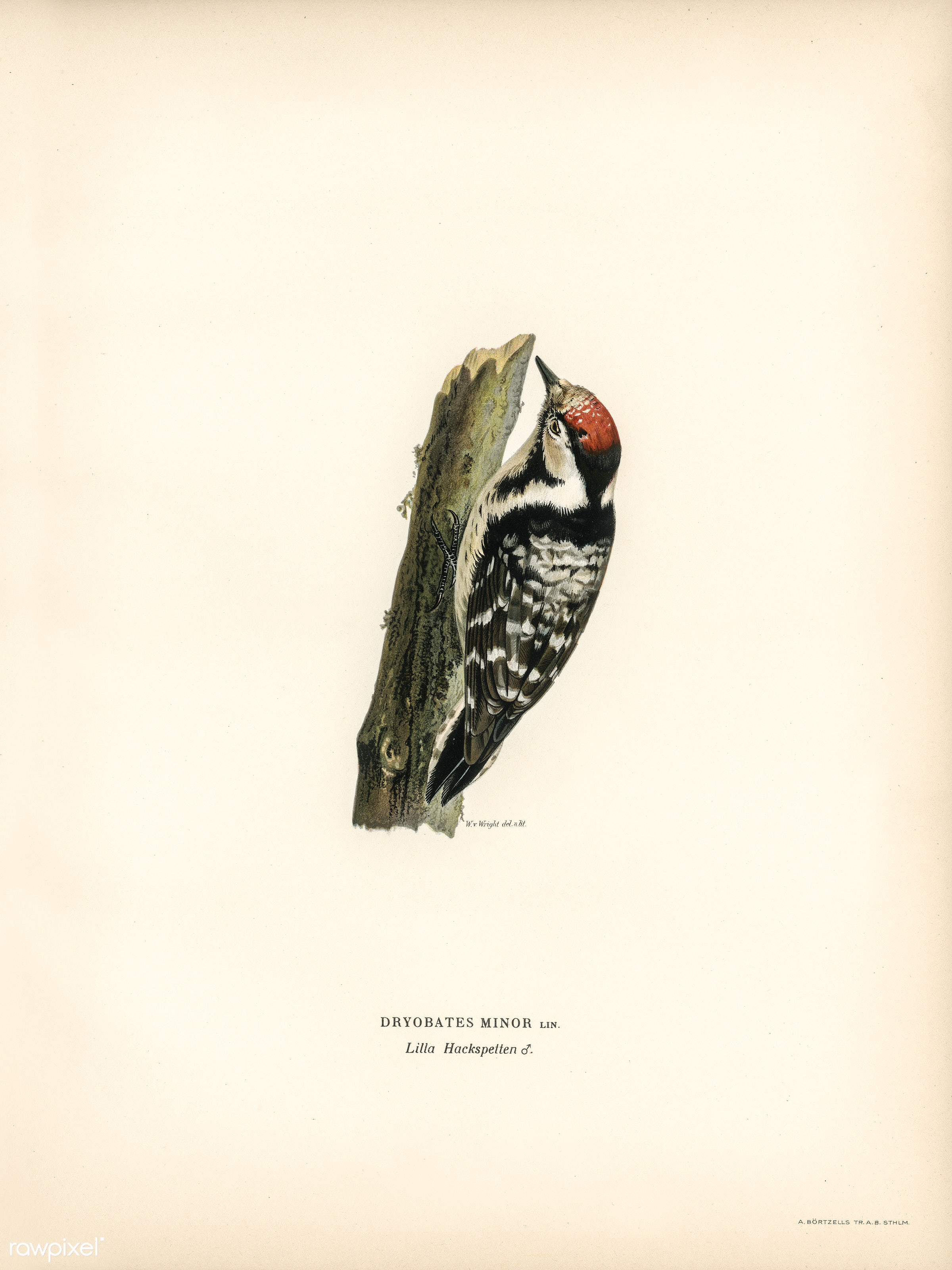 Lesser spotted woodpecker (Dryobates minor) illustrated by the von Wright brothers. Digitally enhanced from our own 1929...