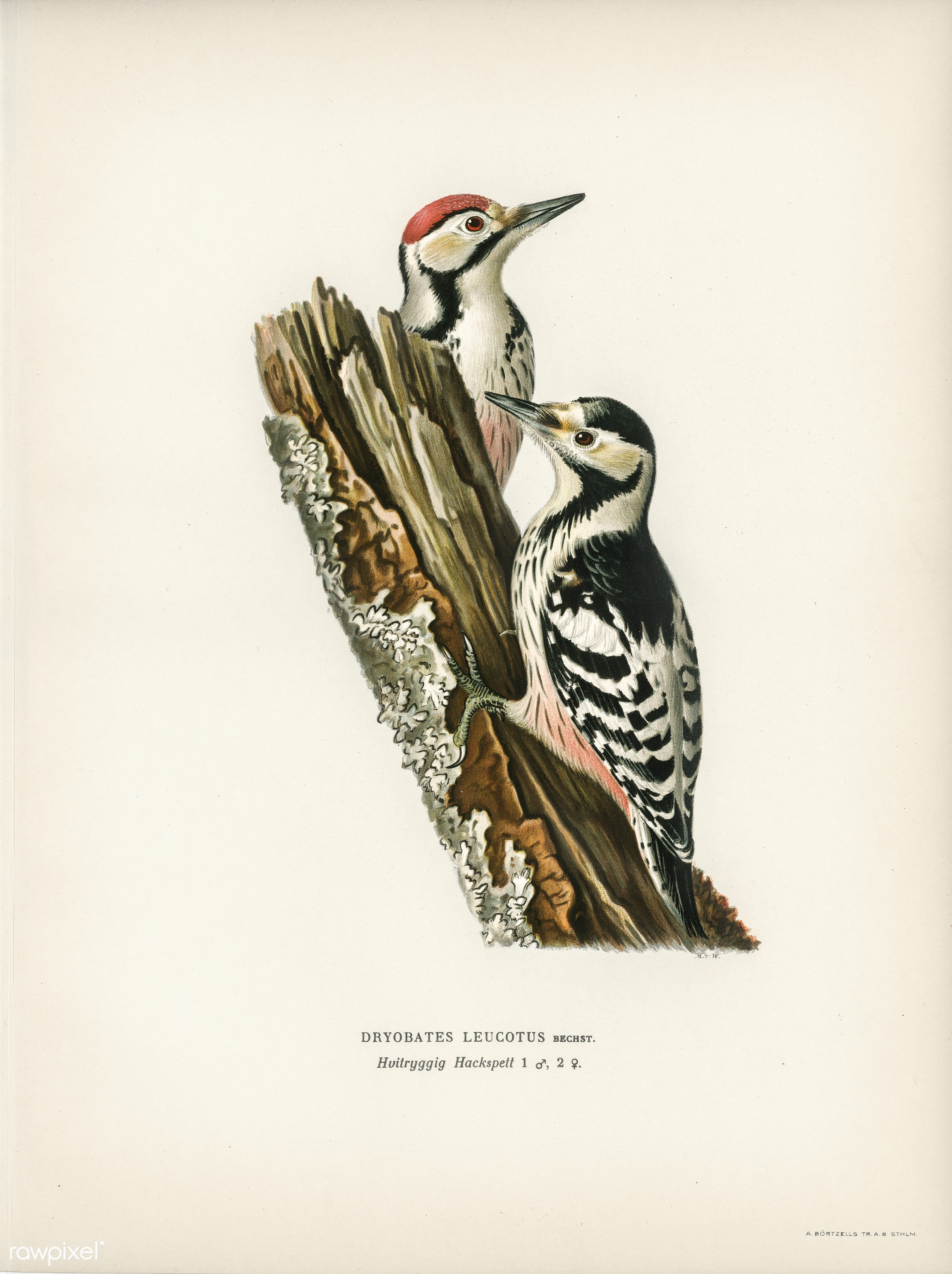 White-backed woodpecker 1♀ , 2♂ (Dryobates leucotus) illustrated by the von Wright brothers. Digitally enhanced from our own...