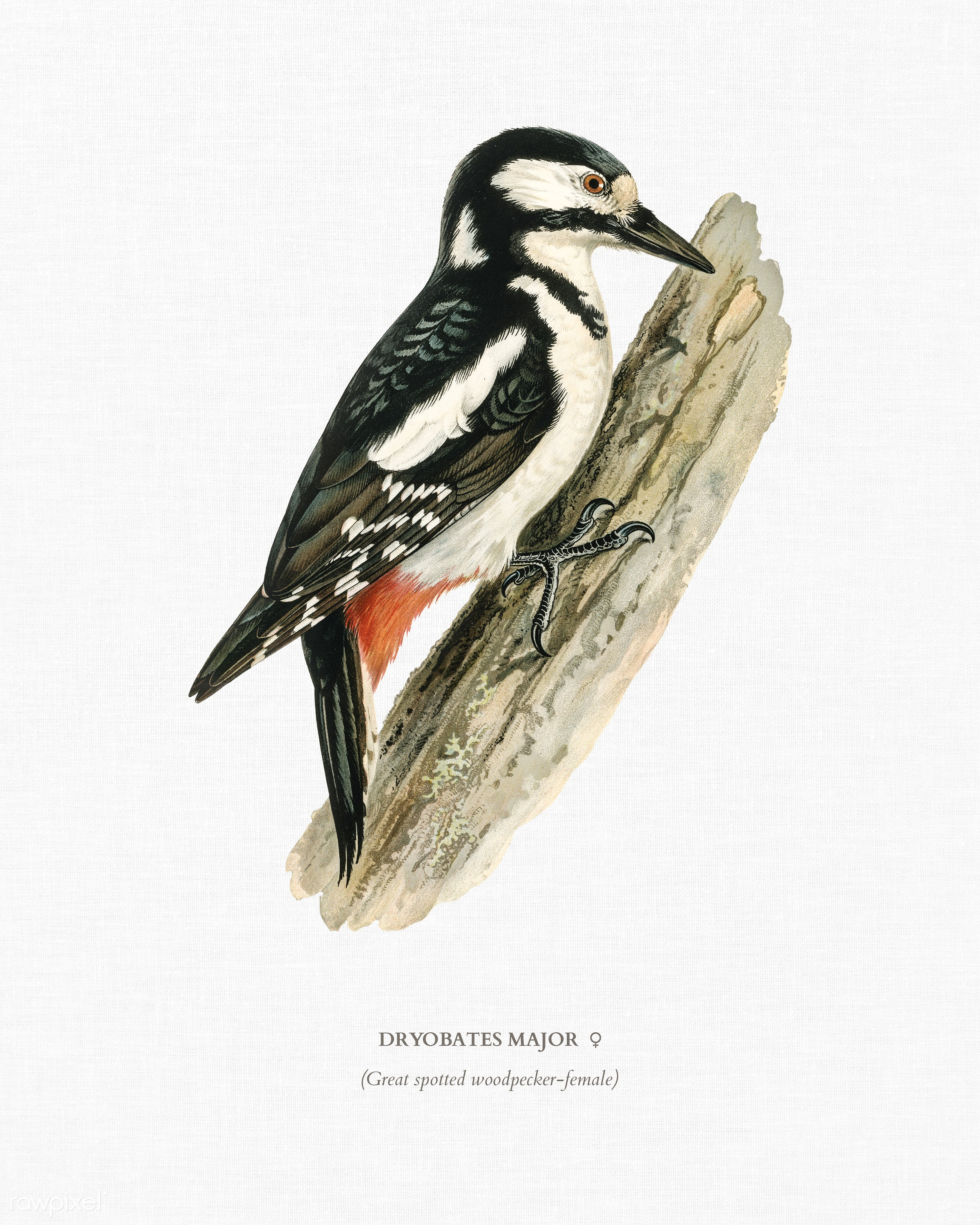 Great spotted woodpecker-female ♀ (Dryobates major) illustrated by the von Wright brothers. Digitally enhanced from our own...
