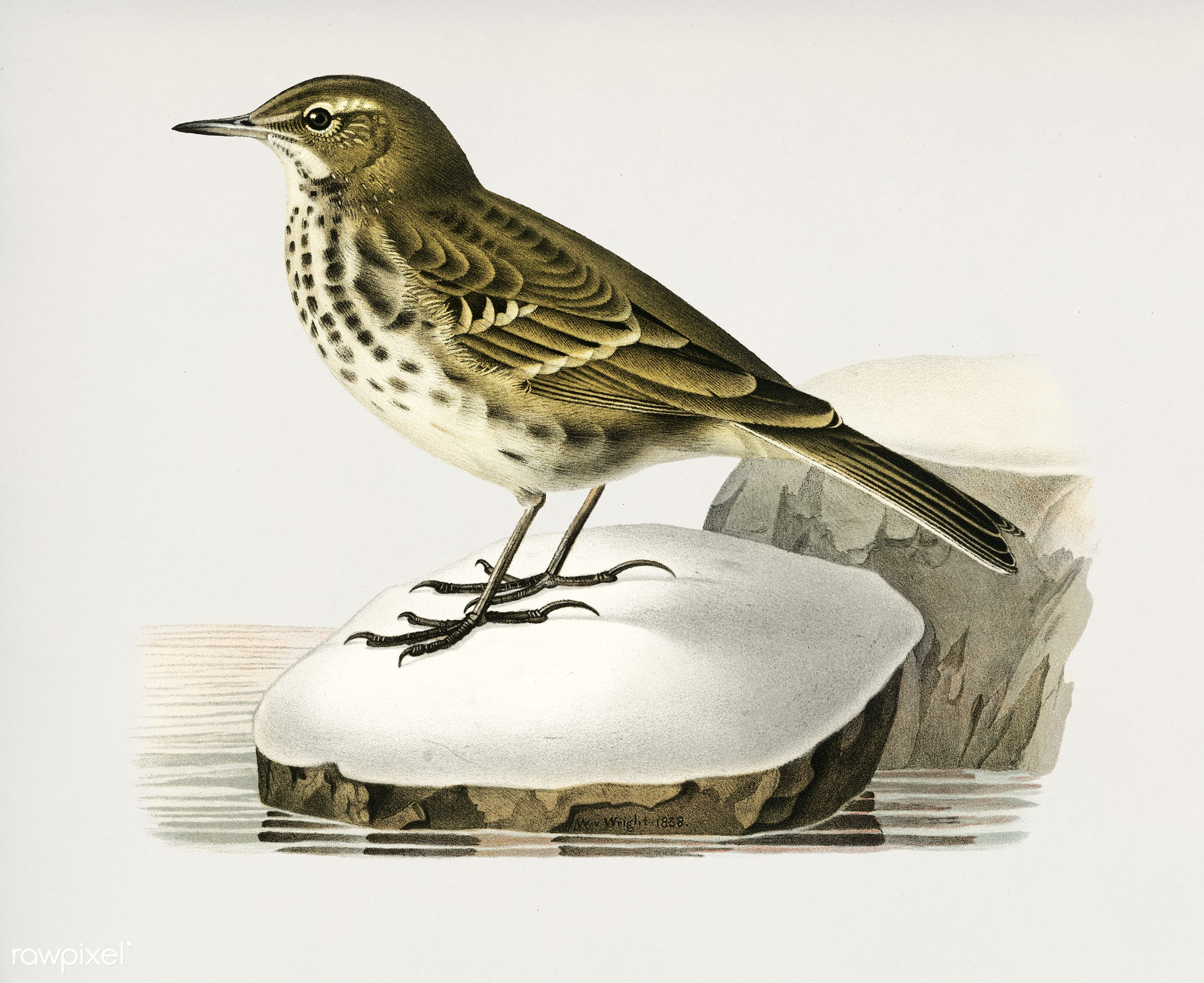 Water pipit (Anthus spinoletta rupestris) illustrated by the von Wright brothers. Digitally enhanced from our own 1929 folio...