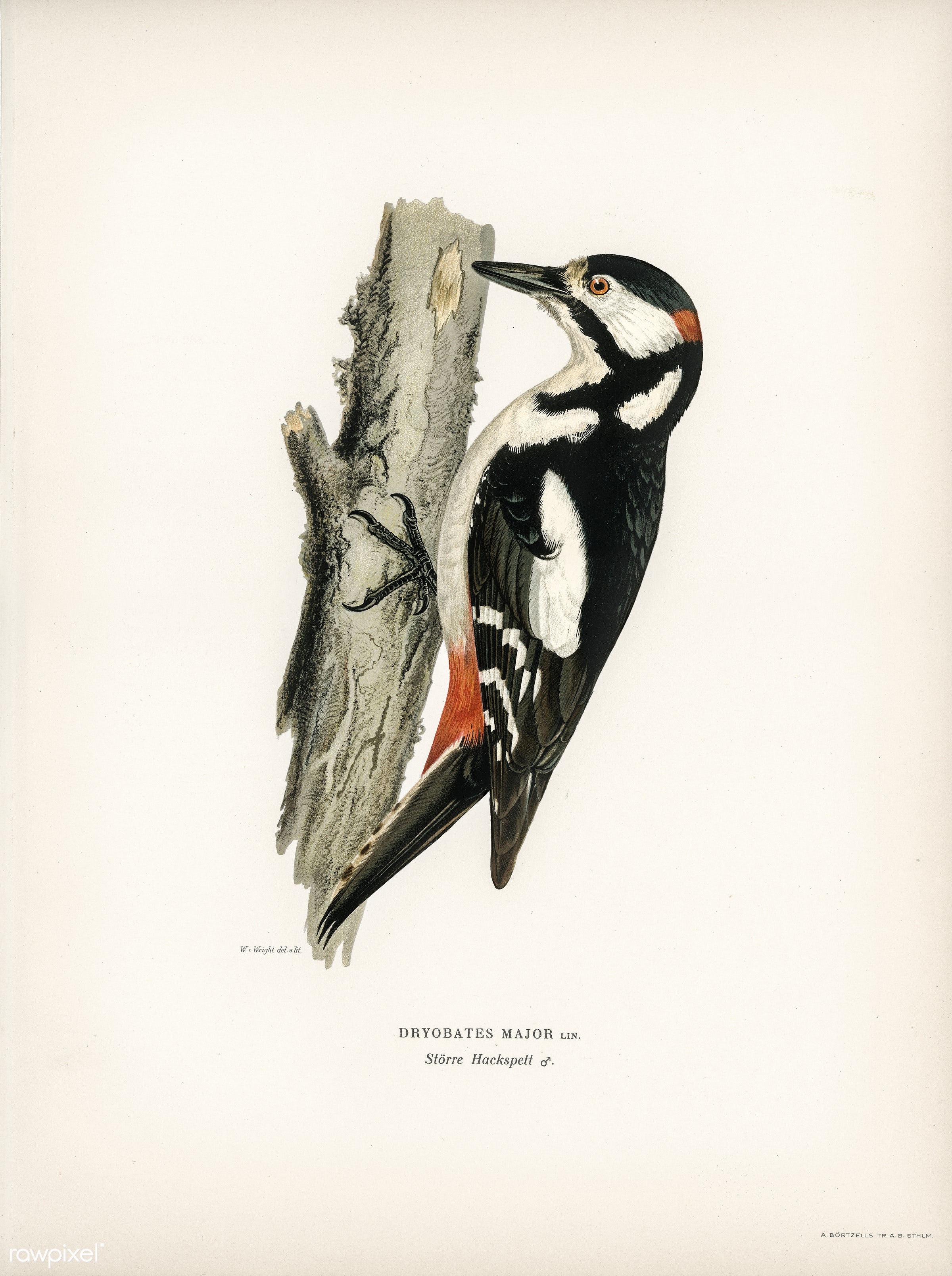 Great spotted woodpecker-male (Dryobates major) illustrated by the von Wright brothers. Digitally enhanced from our own 1929...