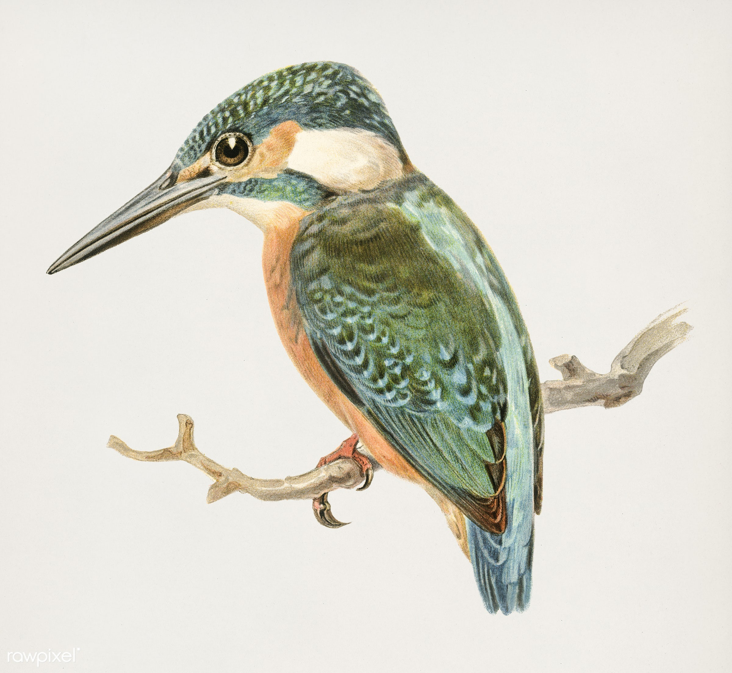 Alcedo ispida illustrated by the von Wright brothers. Digitally enhanced from our own 1929 folio version of Svenska Få...
