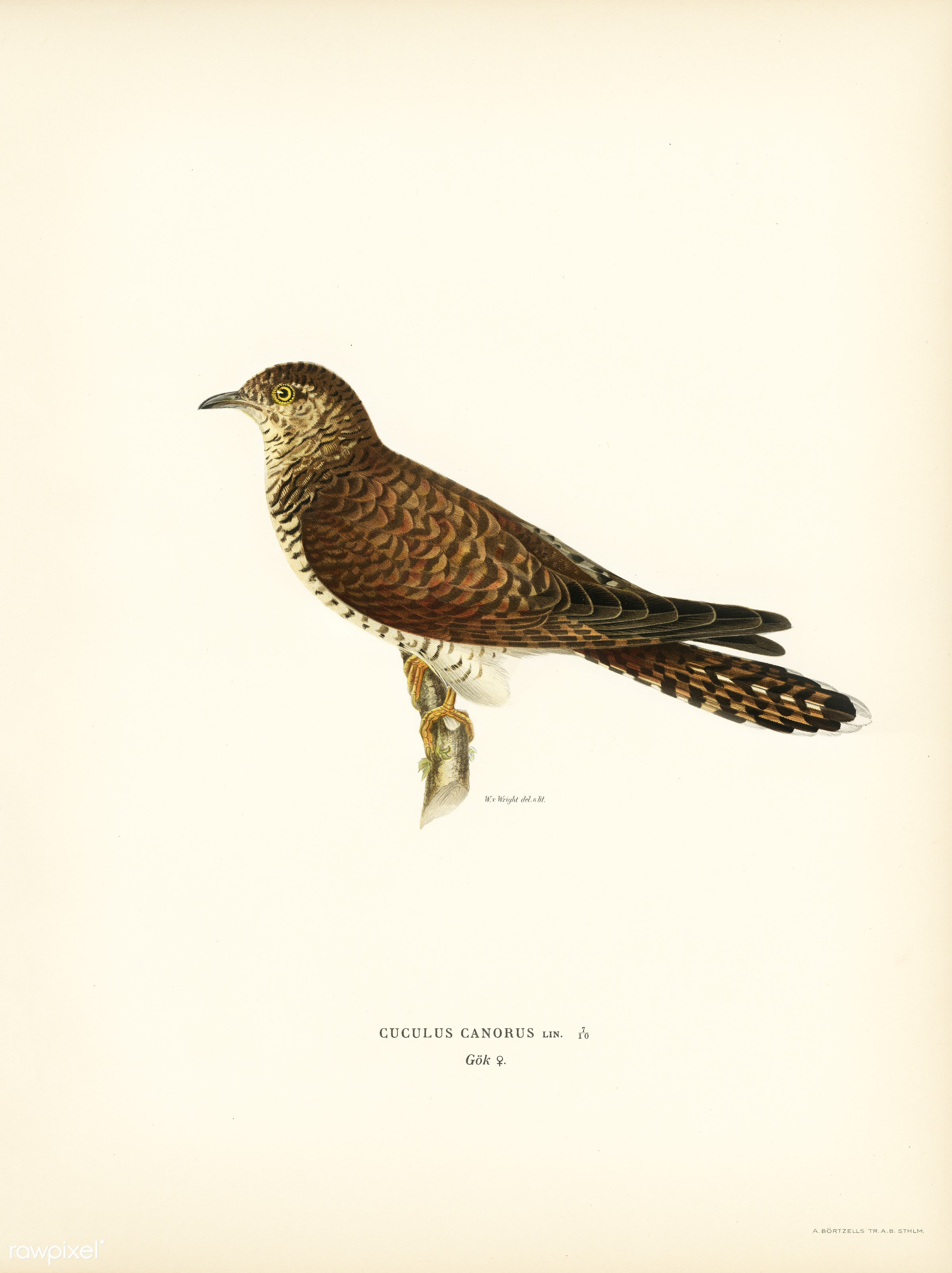 Common cuckoo-female ♀ (Cuculus canorus) illustrated by the von Wright brothers. Digitally enhanced from our own 1929 folio...