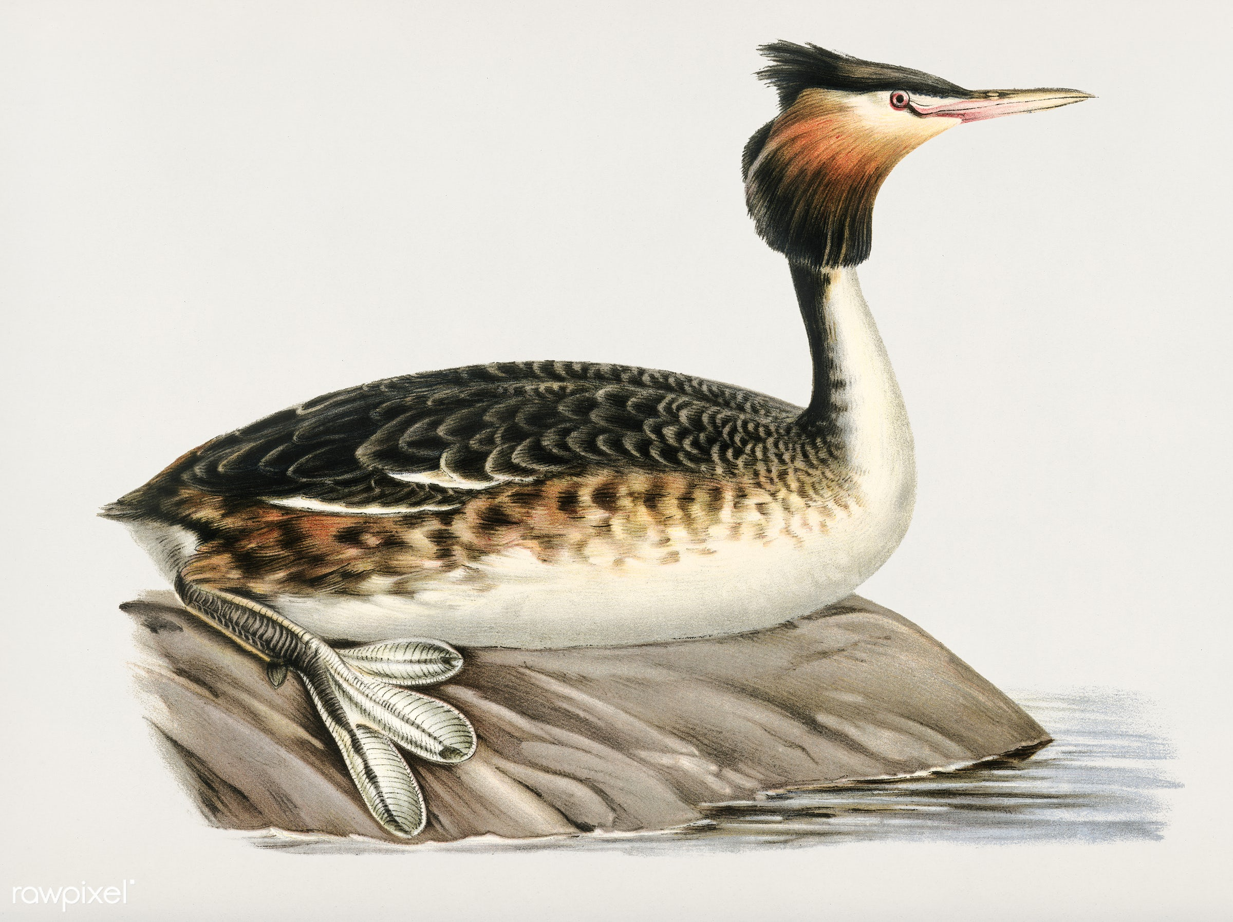 Podiceps cristatus ♂ illustrated by the von Wright brothers. Digitally enhanced from our own 1929 folio version of Svenska F...