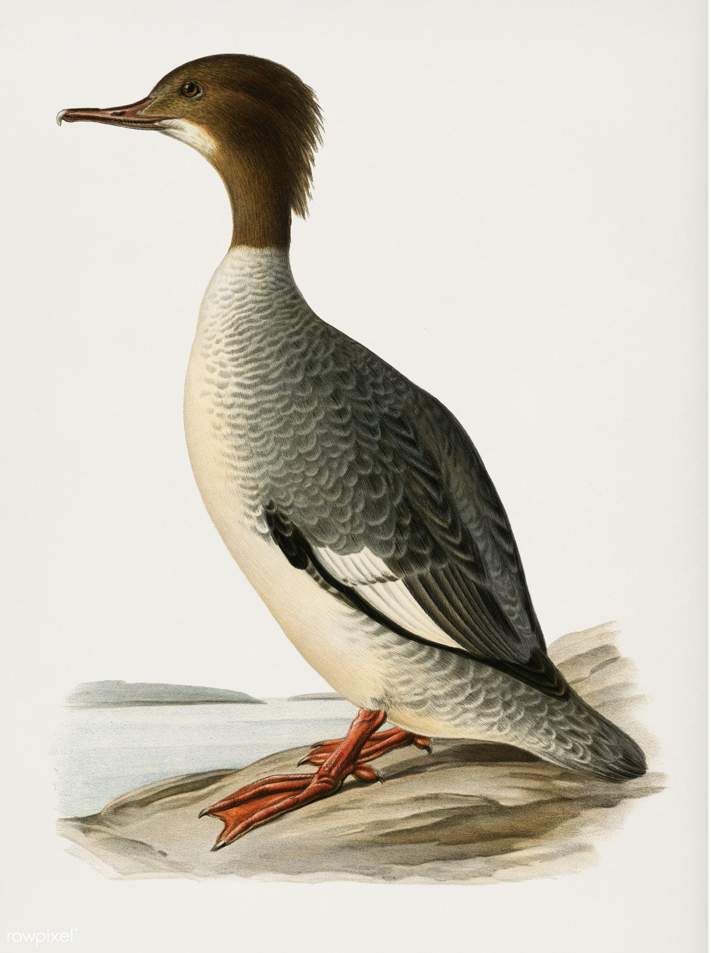 Mergus merganser illustrated by the von Wright brothers. Digitally enhanced from our own 1929 folio version of Svenska F...