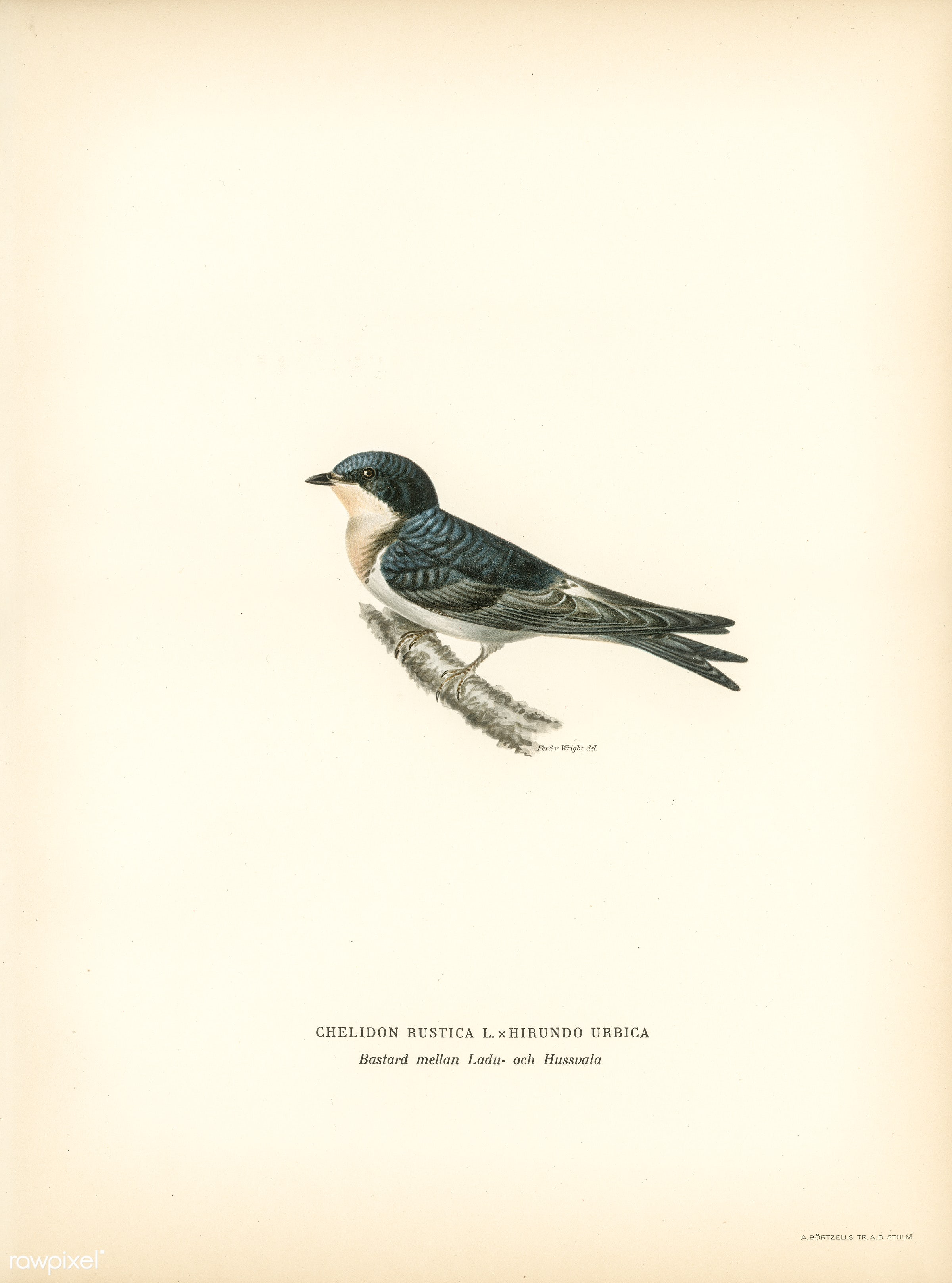Hybrid between common house-martin and barn swallow (Chelidon rustica L.xHirundo urbica) illustrated by the von Wright...