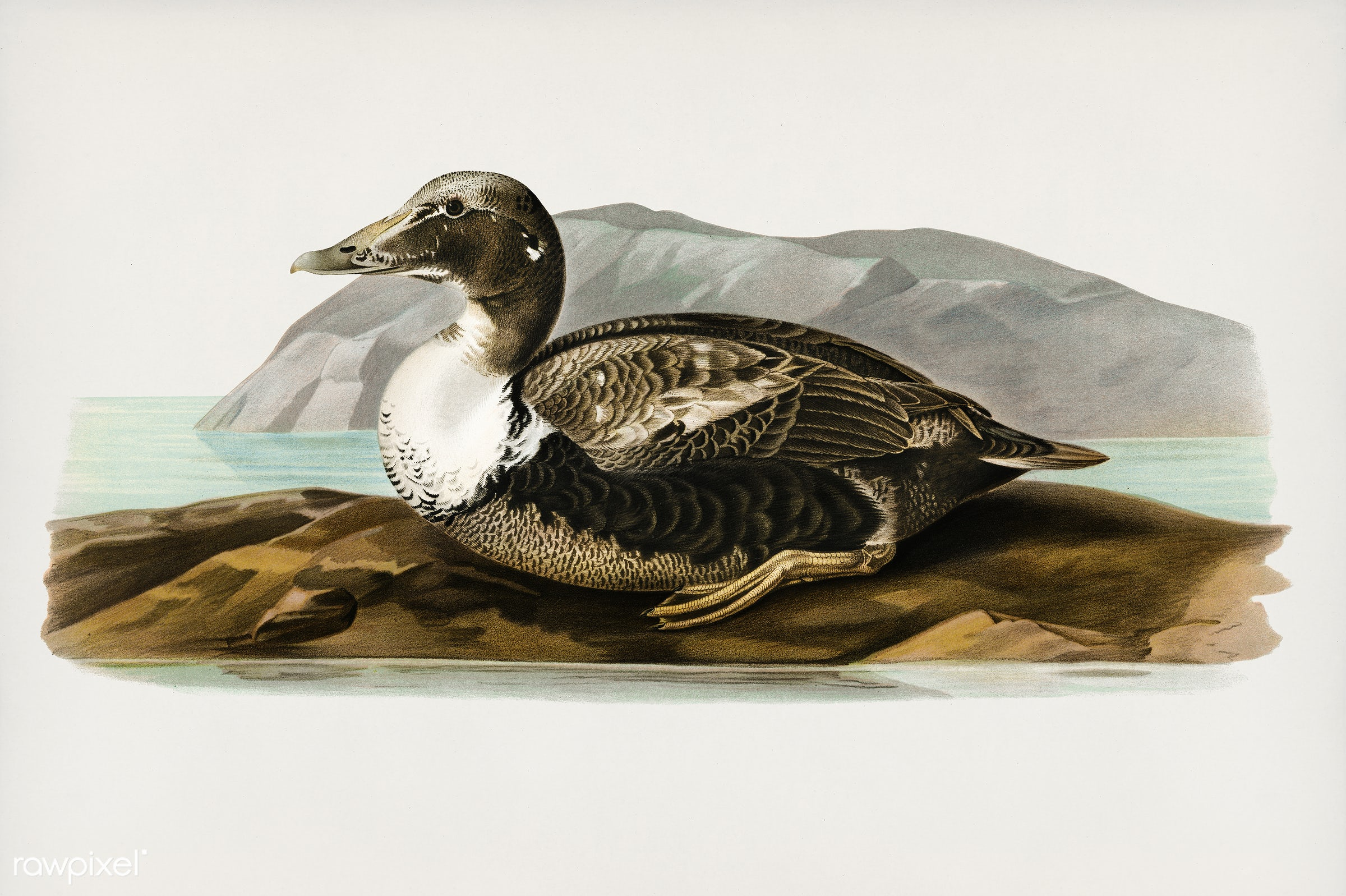 Eider (Somateria mollissima)illustrated by the von Wright brothers. Digitally enhanced from our own 1929 folio version of...