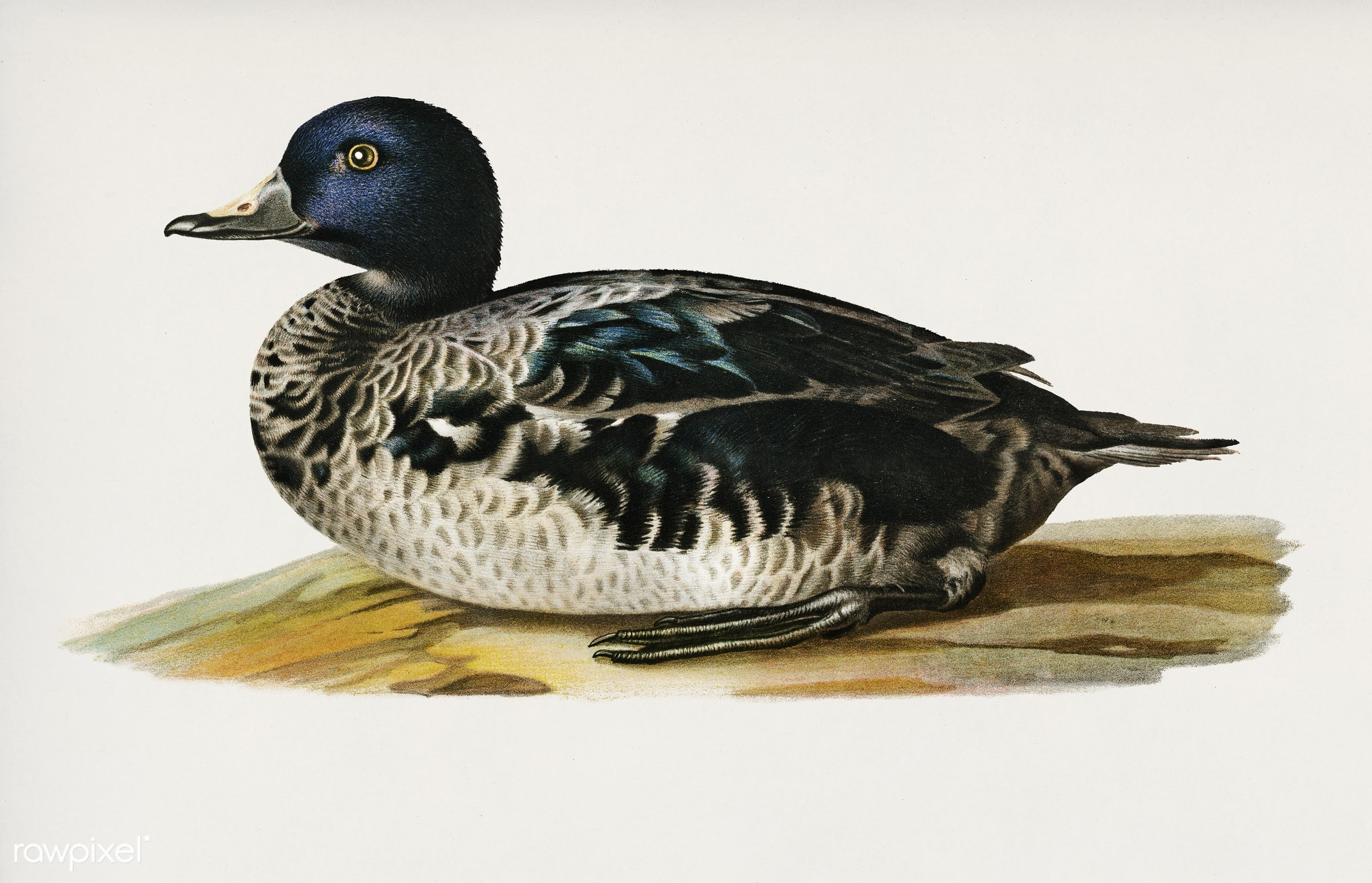 Black scoter male (Oidemia nigra) illustrated by the von Wright brothers. Digitally enhanced from our own 1929 folio version...