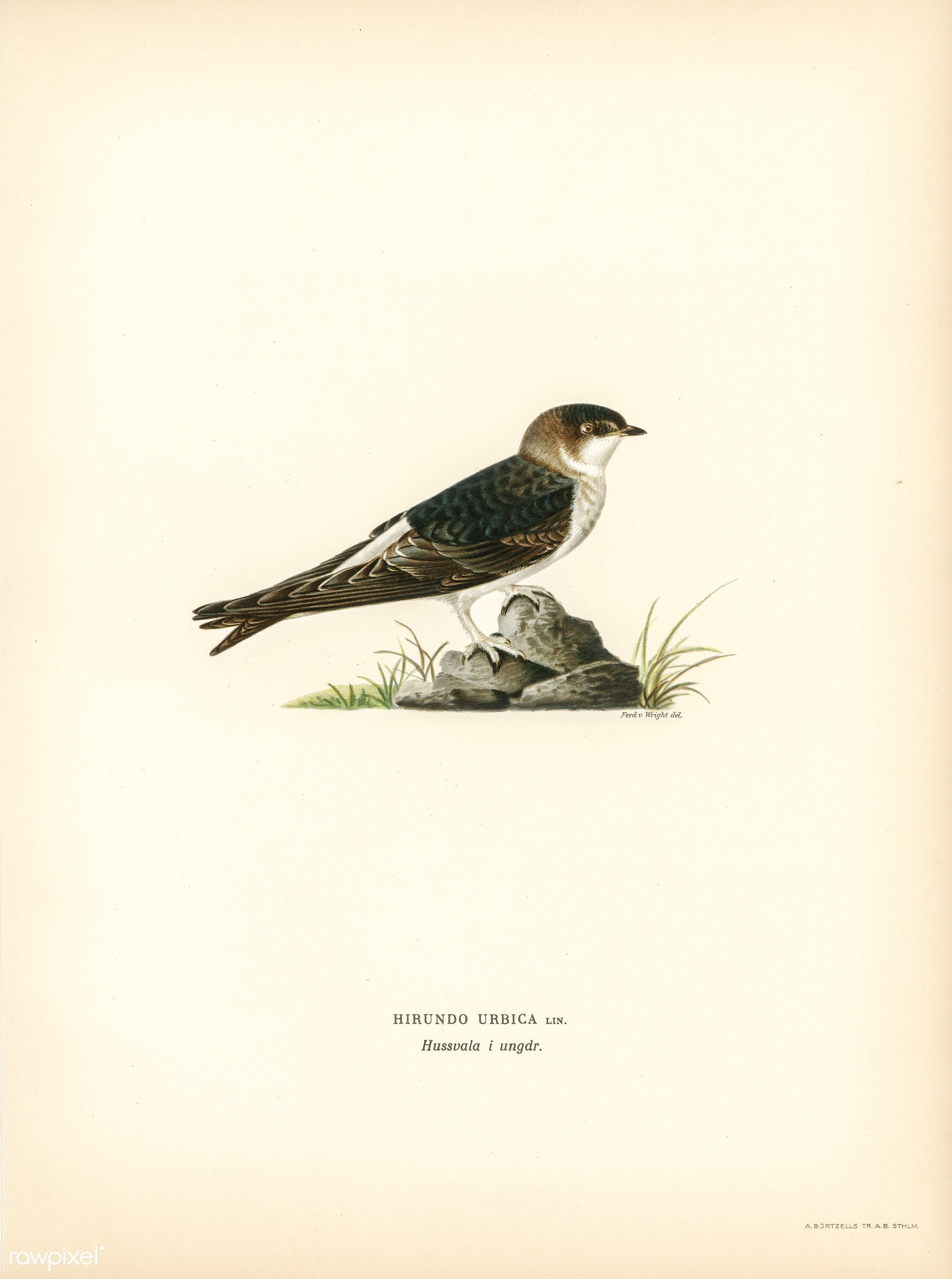Young common house-martin (Hirundo urbica) illustrated by the von Wright brothers. Digitally enhanced from our own 1929...