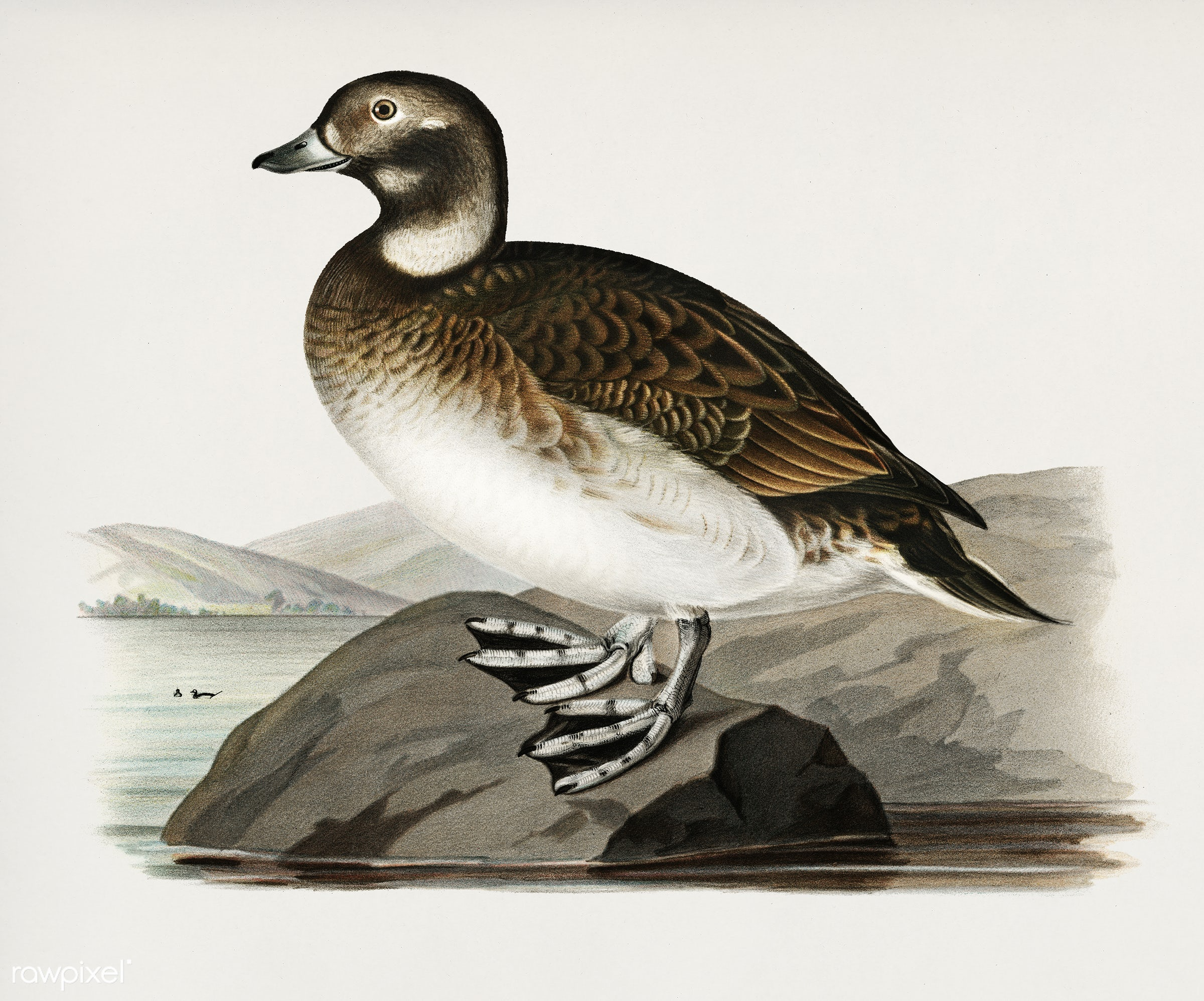 Long-tailed Duck (Harelda hyemalis) illustrated by the von Wright brothers. Digitally enhanced from our own 1929 folio...