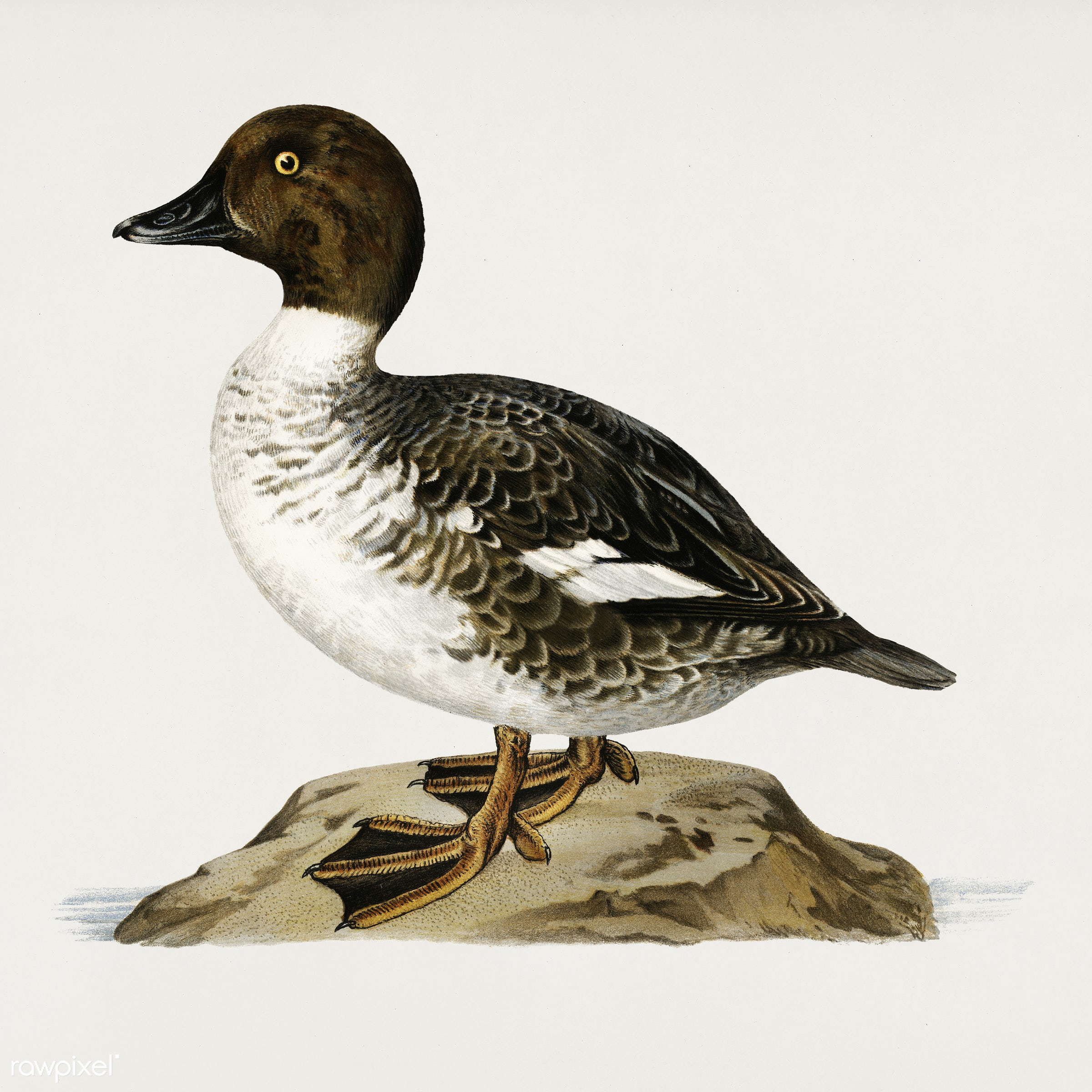 Goldeneye male (Bucephala clangula) illustrated by the von Wright brothers. Digitally enhanced from our own 1929 folio...