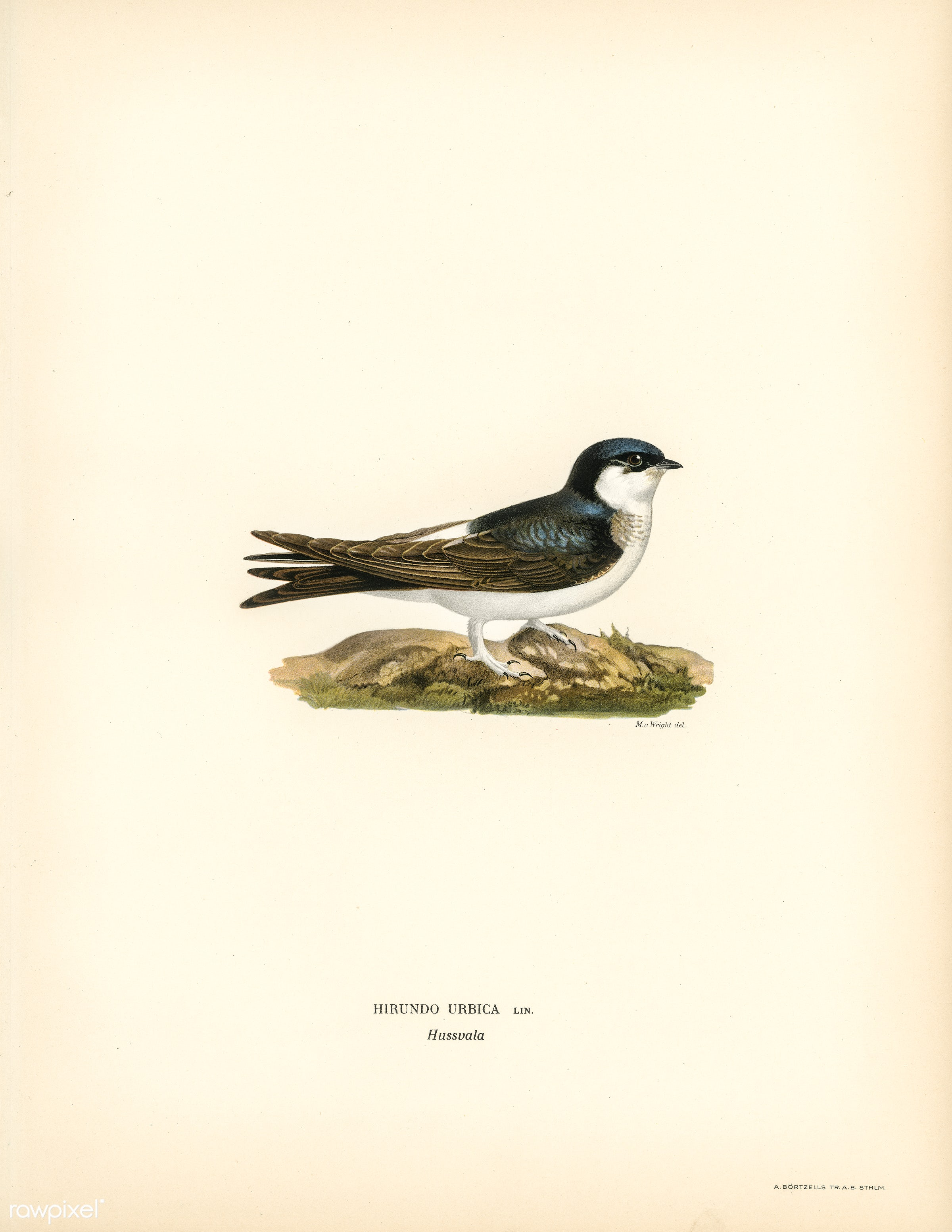 Hirundo Urbica illustrated by the von Wright brothers. Digitally enhanced from our own 1929 folio version of Svenska F...