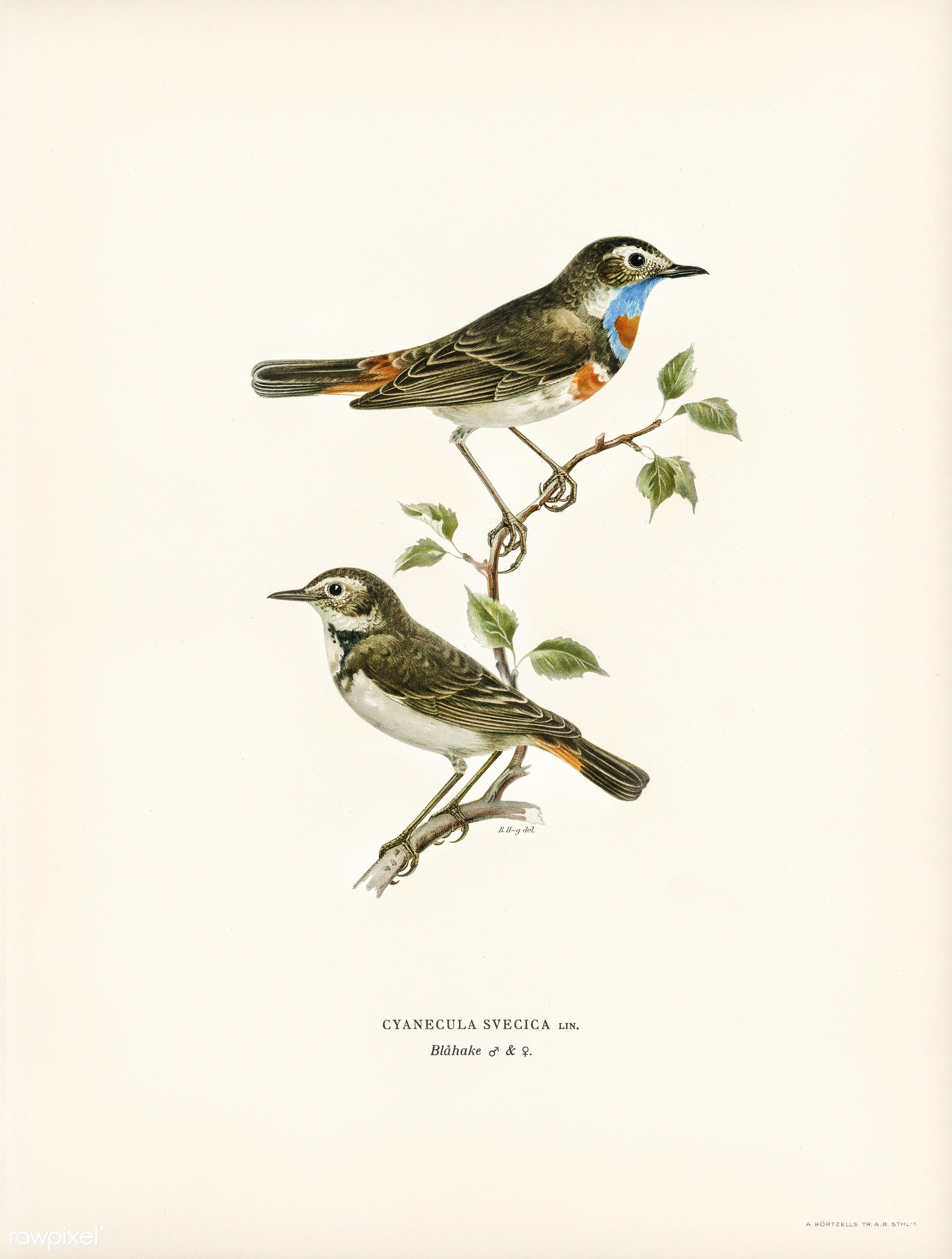 Bluethroat (Cyanecula svecica) illustrated by the von Wright brothers. Digitally enhanced from our own 1929 folio version of...