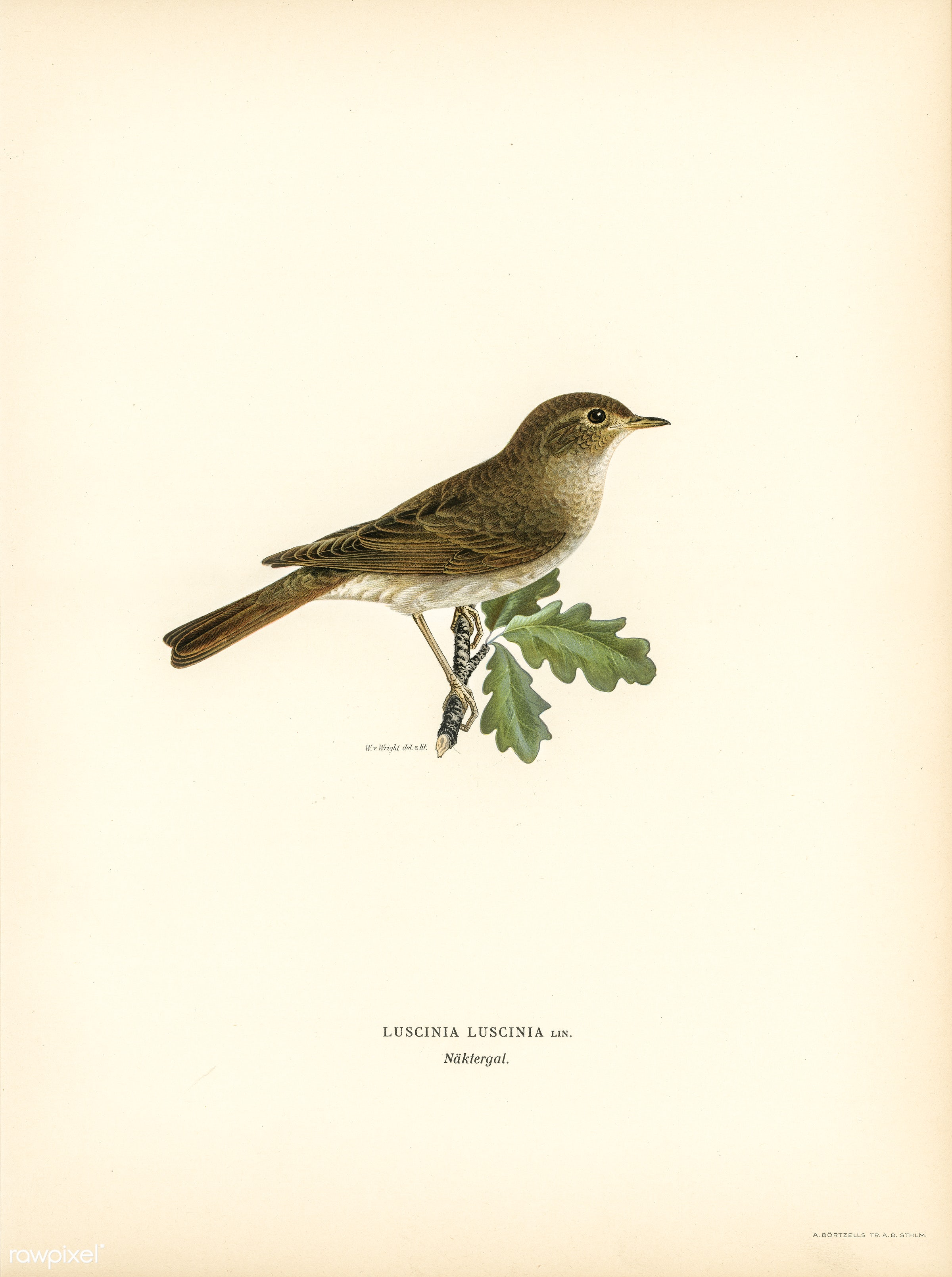 Thrush Nightingale (Luscinia luscinia) illustrated by the von Wright brothers. Digitally enhanced from our own 1929 folio...
