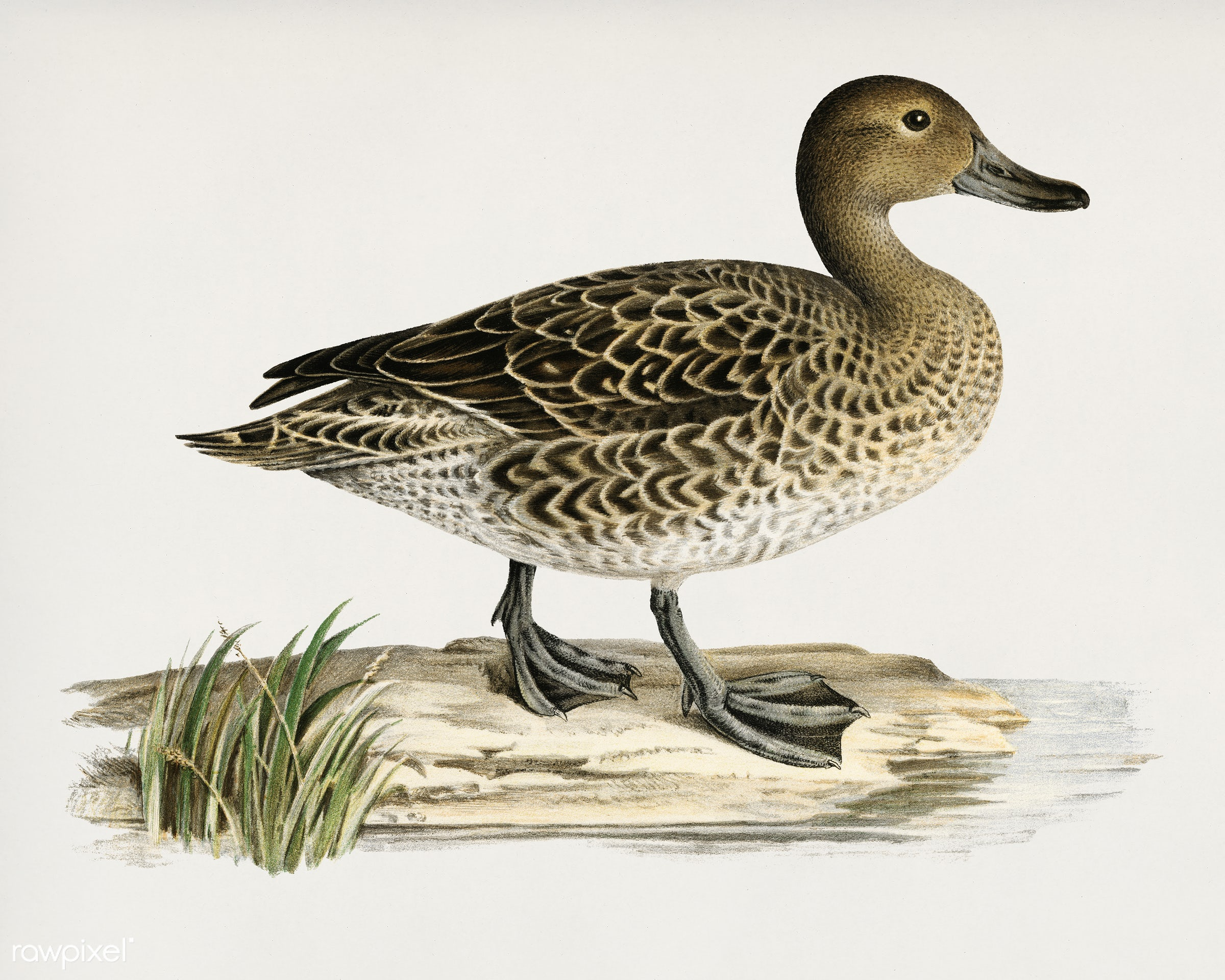 Pintail (Anas acuta) illustrated by the von Wright brothers. Digitally enhanced from our own 1929 folio version of Svenska F...