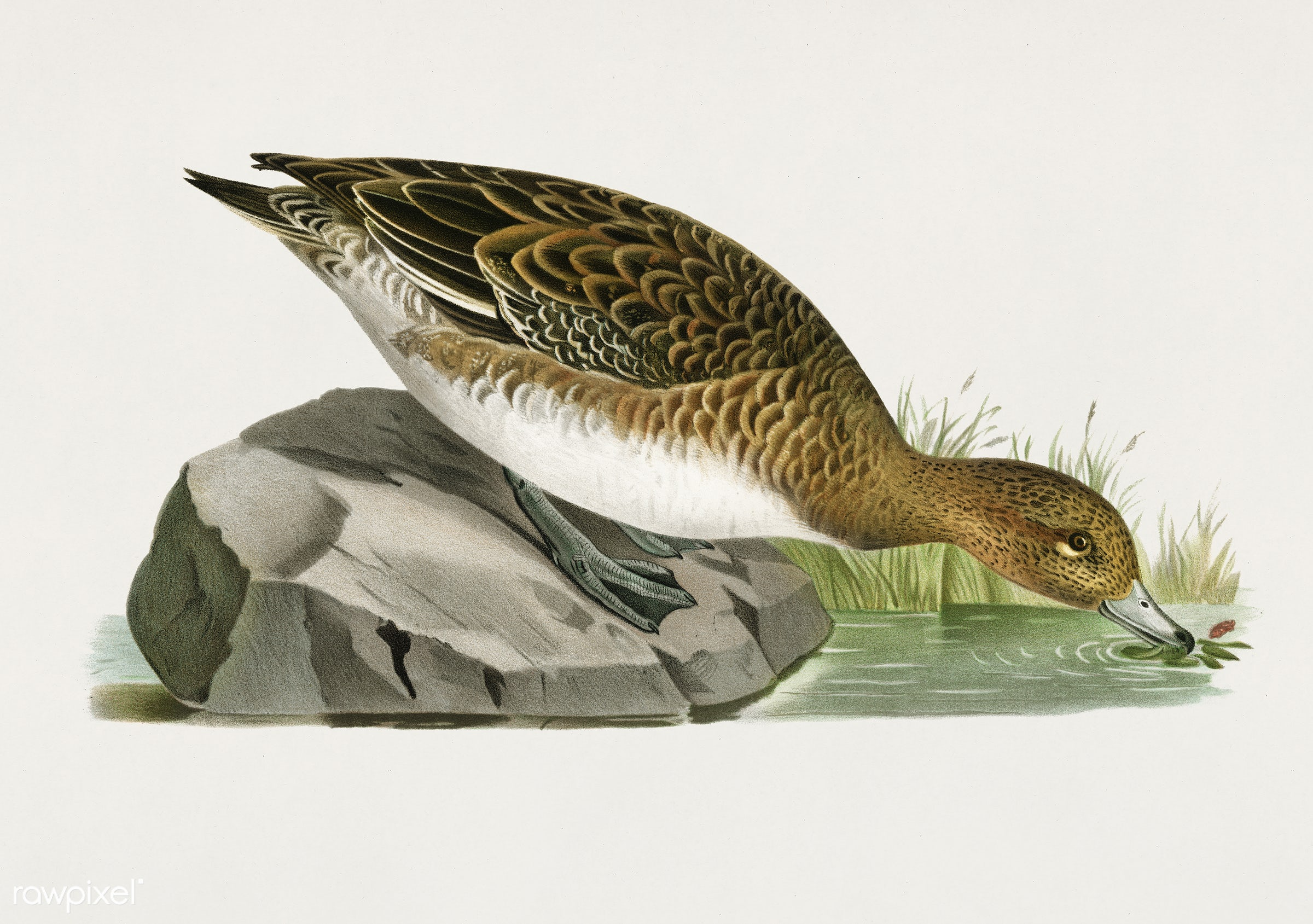 Eurasian wigeon female (Anas(mereca) penelope) illustrated by the von Wright brothers. Digitally enhanced from our own 1929...