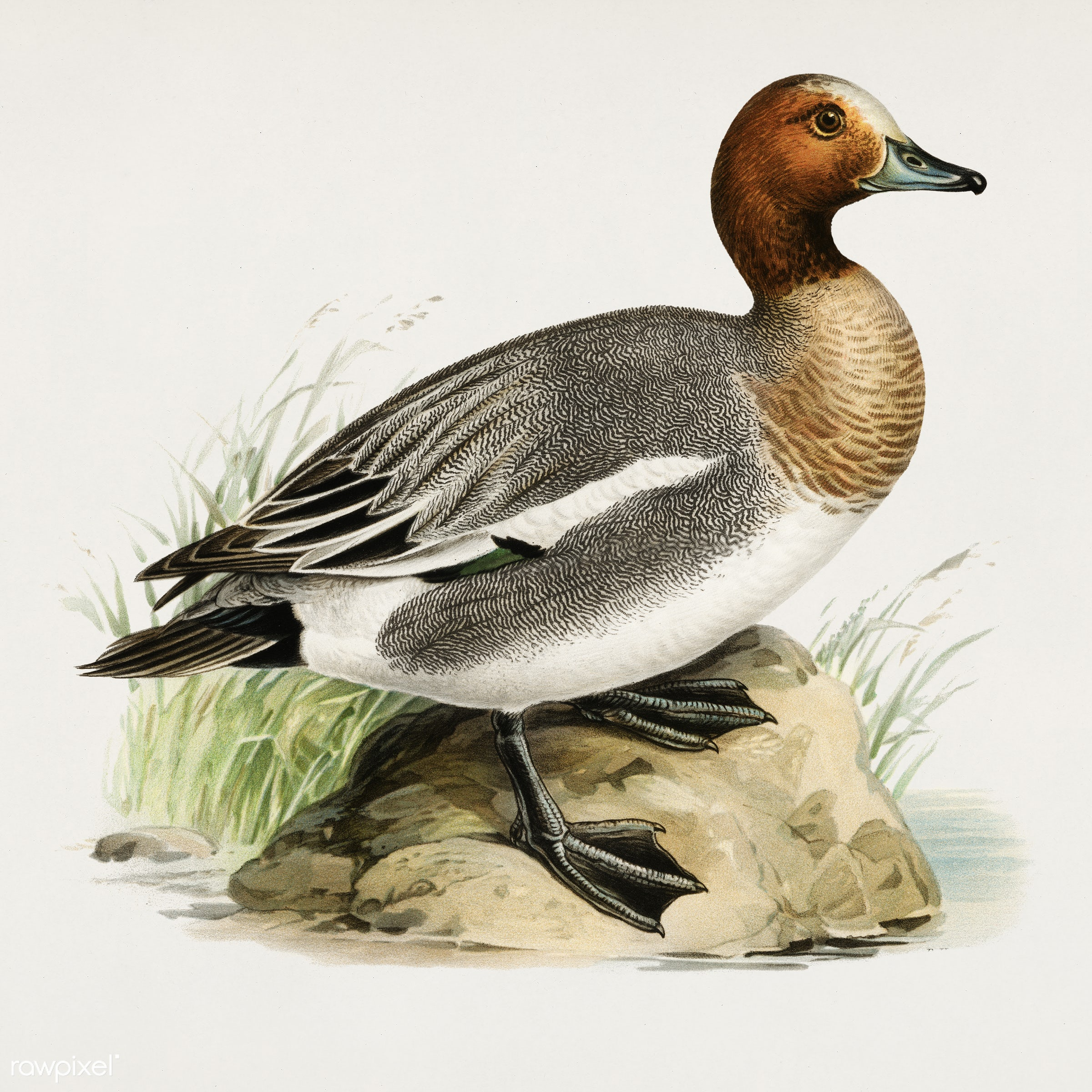 Eurasian wigeon (Anas(mereca) penelope.) illustrated by the von Wright brothers. Digitally enhanced from our own 1929 folio...